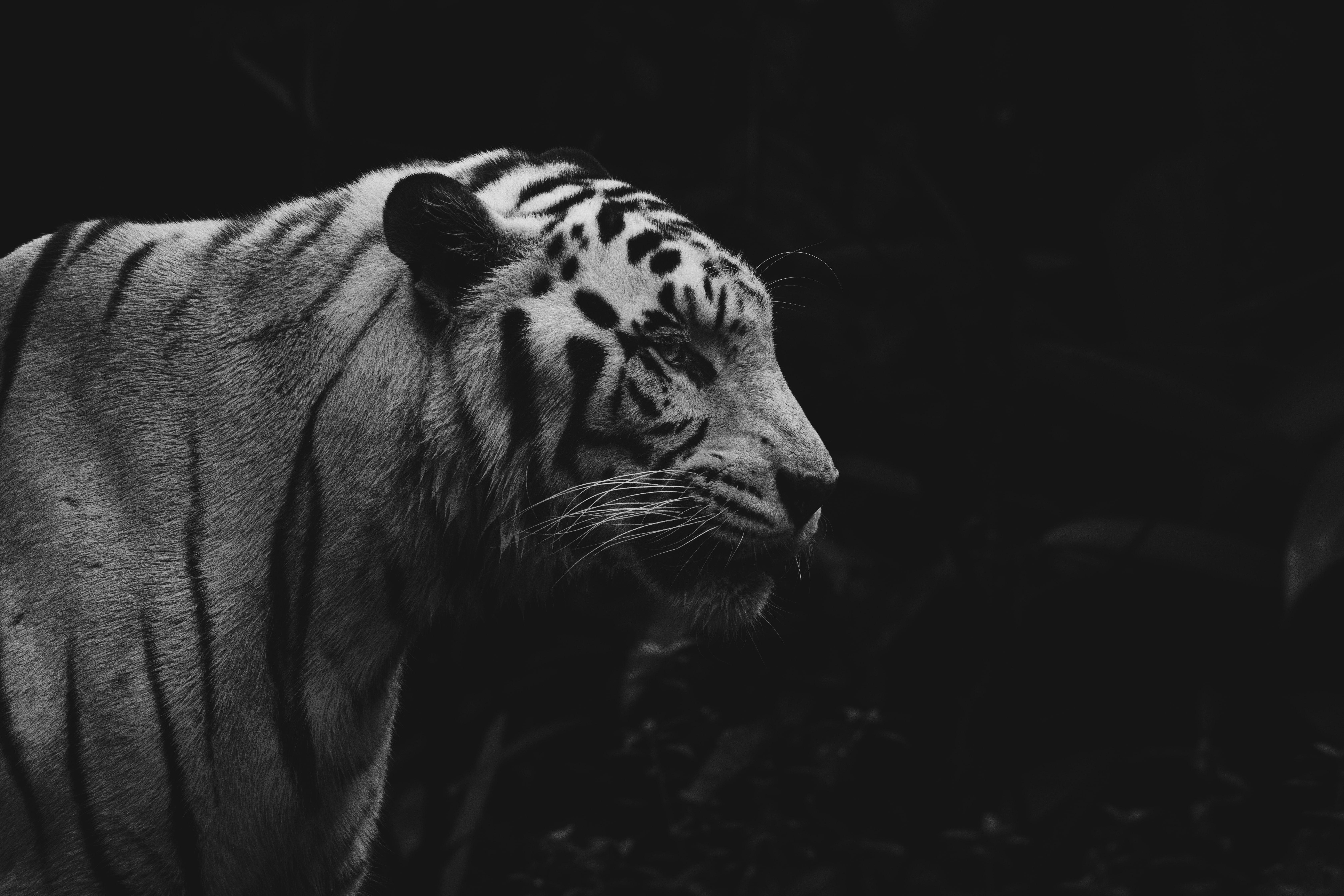 146005 скачать обои Животные, Тигр, Животное, Хищник, Дикая Природа, Чб - заставки и картинки бесплатно