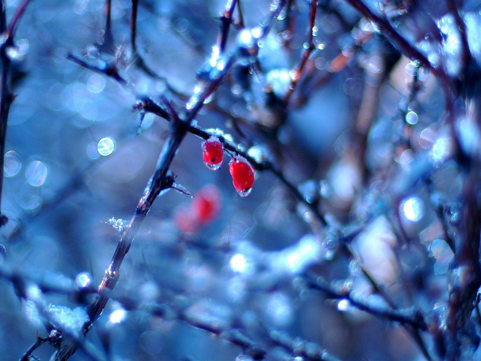 70764 скачать обои Природа, Шиповник, Весна, Плоды, Дождь, Ягоды - заставки и картинки бесплатно