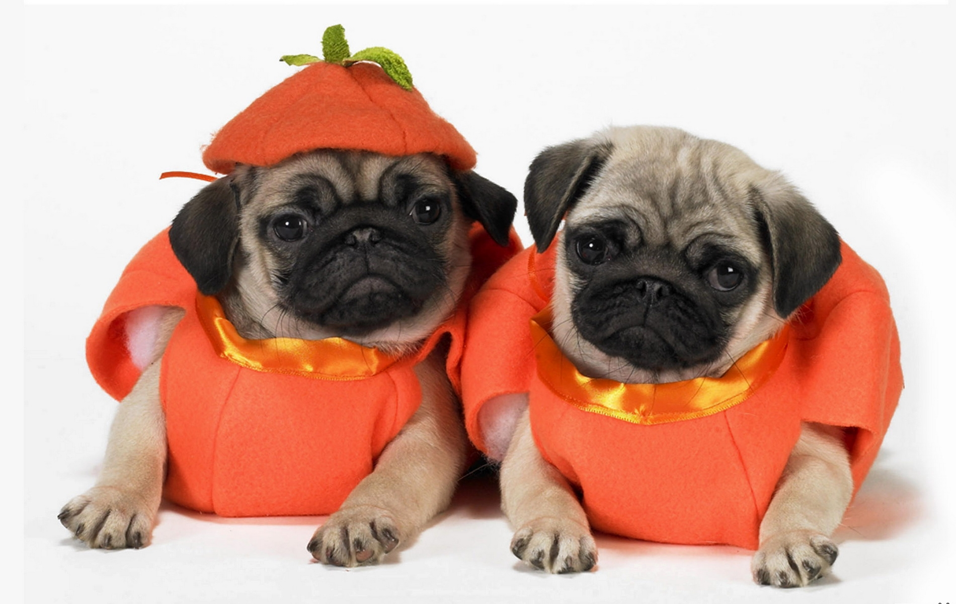 128197 download wallpaper Animals, Dogs, Puppies, Costumes, Pugs screensavers and pictures for free