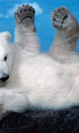 36492 baixar papel de parede Animais, Bears - protetores de tela e imagens gratuitamente
