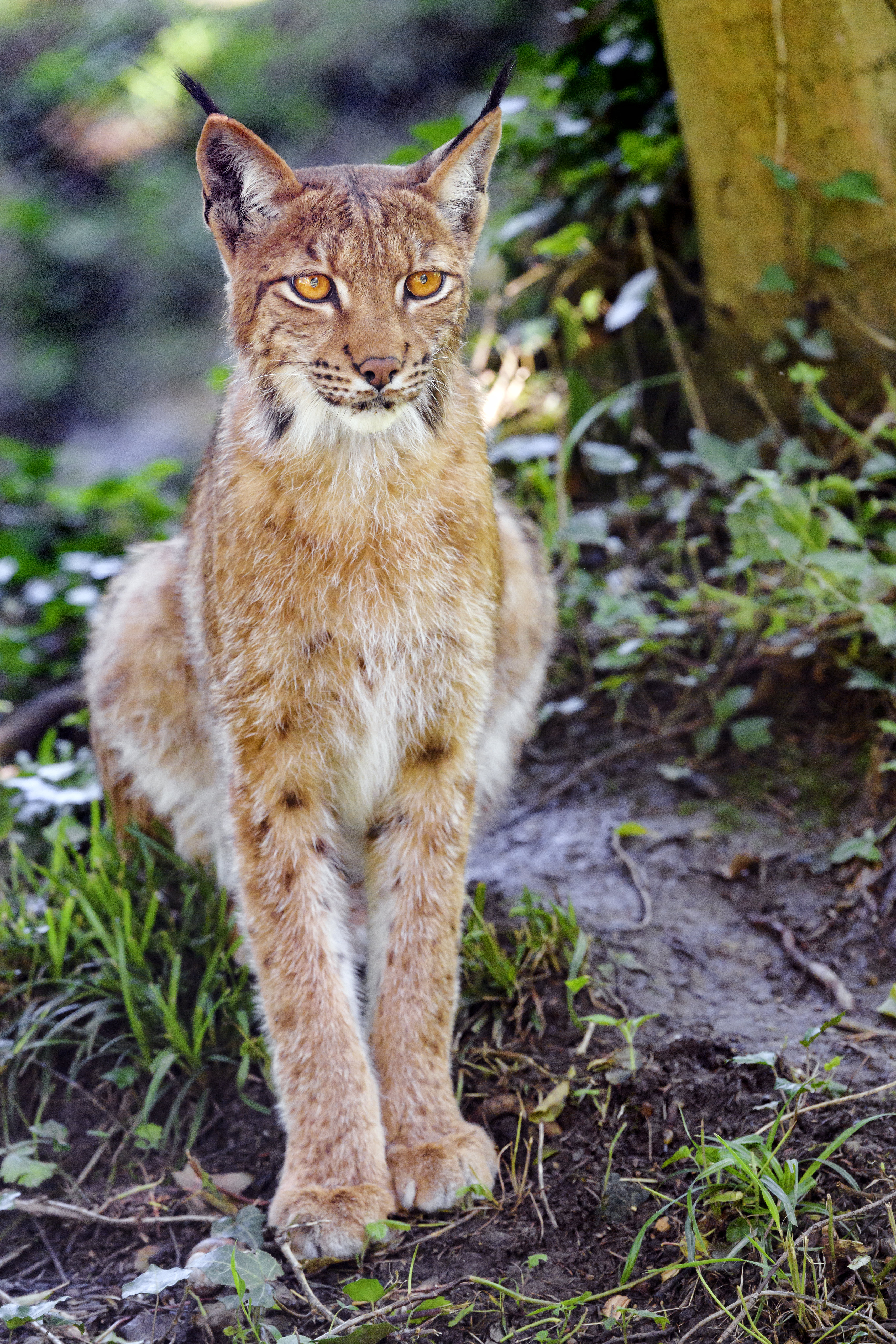 107819 download wallpaper Animals, Iris, Big Cat, Animal, Sight, Opinion, Grass screensavers and pictures for free