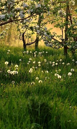 145637 скачать обои Природа, Одуванчики, Поле, Трава, Деревья - заставки и картинки бесплатно