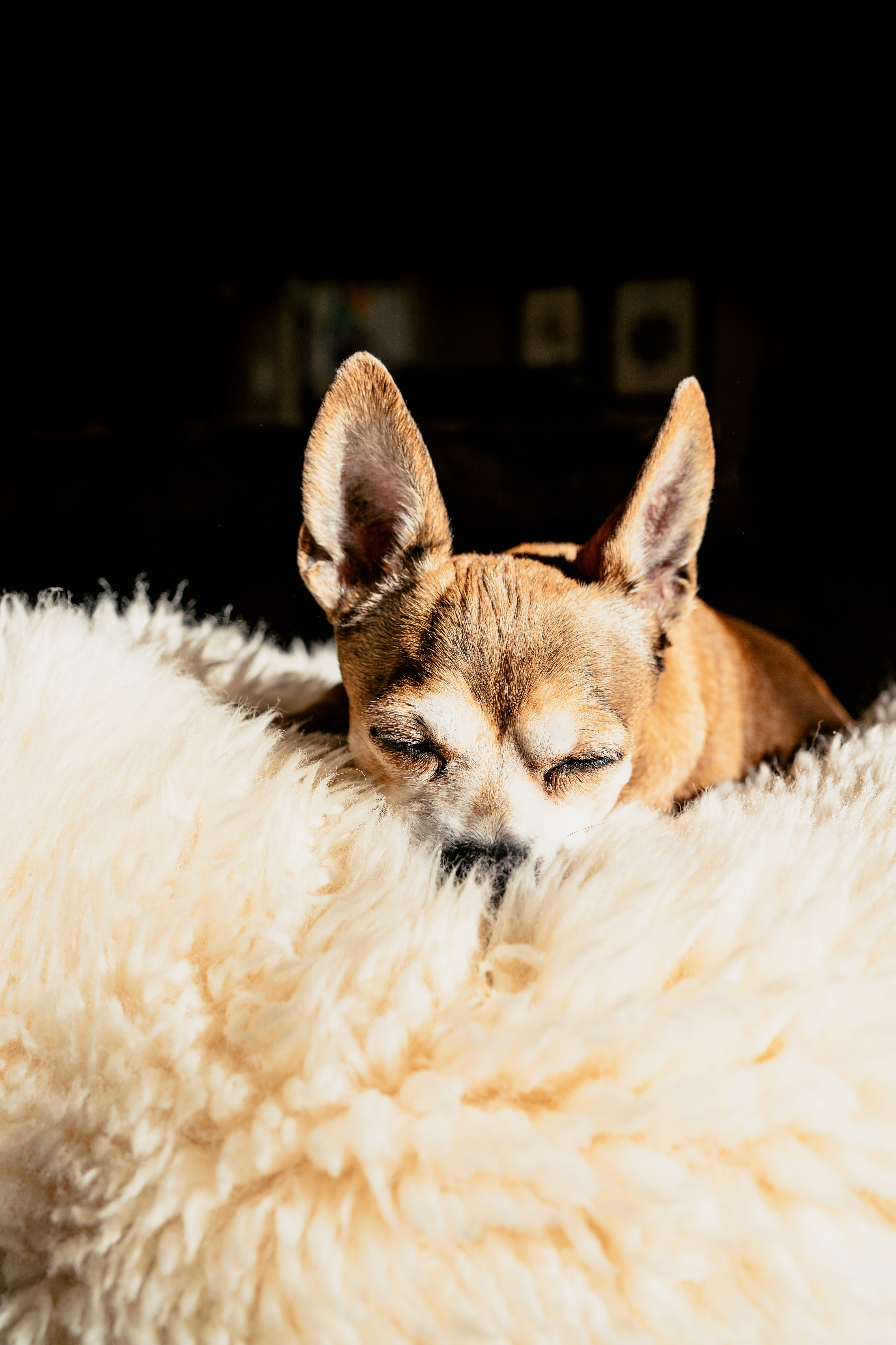 94548 download wallpaper Animals, Chihuahua, Dog, Brown, Pet, Sleep, Dream screensavers and pictures for free