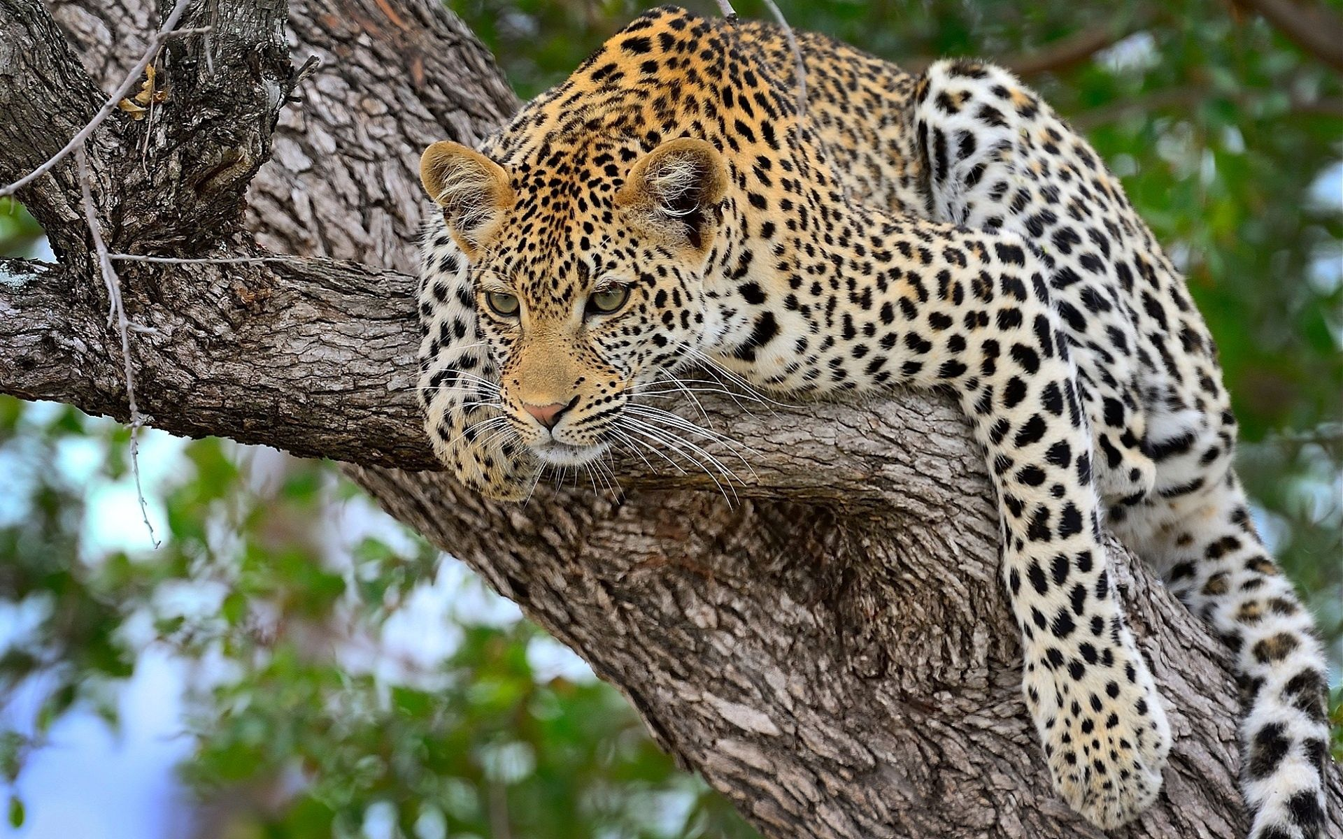 60312 download wallpaper Animals, Cheetah, Predator, To Lie Down, Lie, Big Cat screensavers and pictures for free
