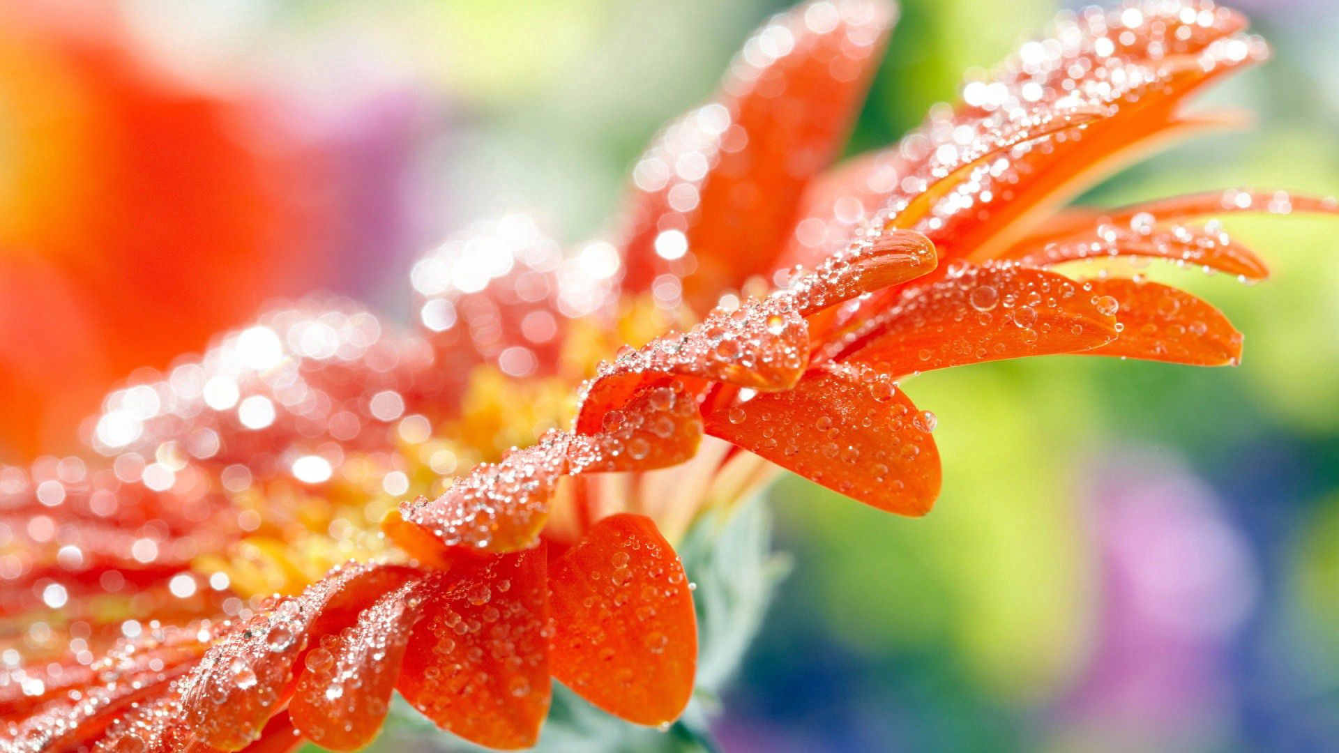 104168 download wallpaper Macro, Flower, Drops, Dew screensavers and pictures for free