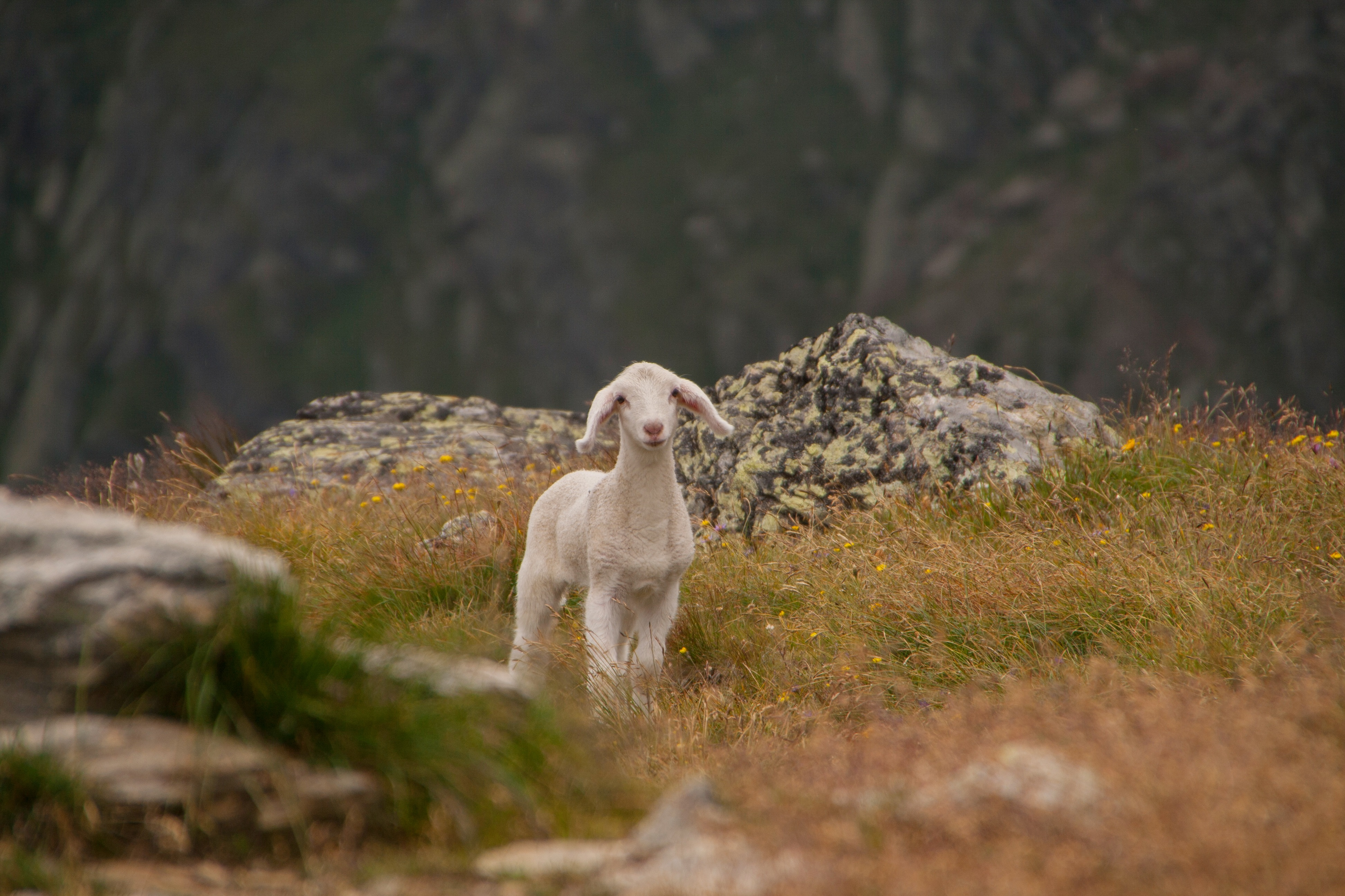 87419 Screensavers and Wallpapers Sheep for phone. Download Animals, Mountains, Young, Joey, Sheep, Lamb pictures for free