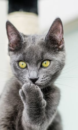 85421 download wallpaper Animals, Cat, Paw, Grey, Sight, Opinion, Pet, Funny screensavers and pictures for free