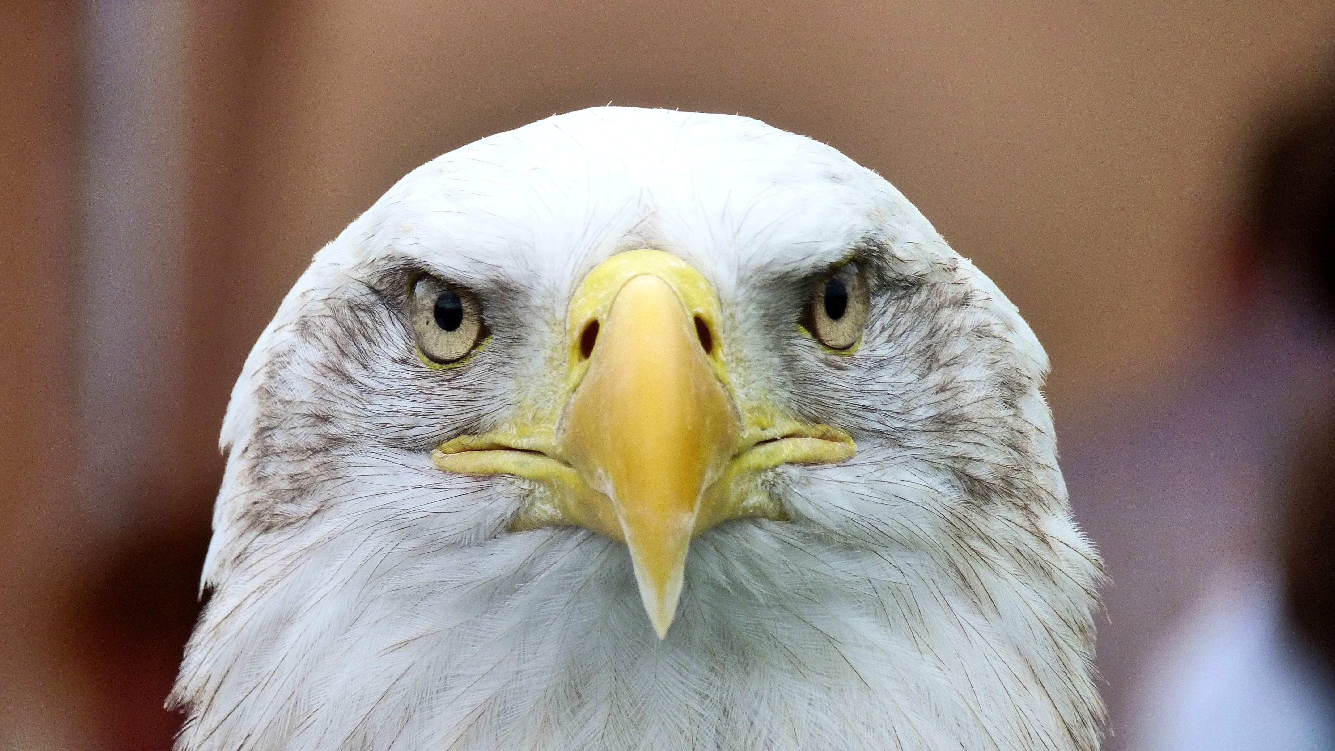117080 download wallpaper Animals, Bald Eagle, White-Headed Eagle, Eagle, Predator, Bird screensavers and pictures for free