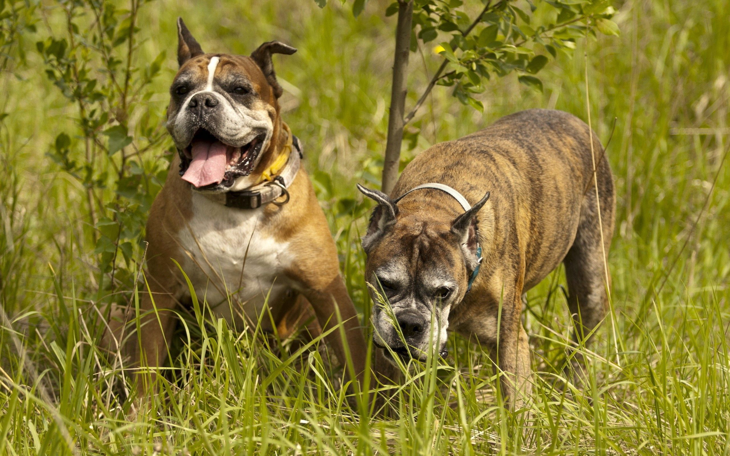 136449 download wallpaper Animals, Dogs, Couple, Pair, Grass, Stroll screensavers and pictures for free