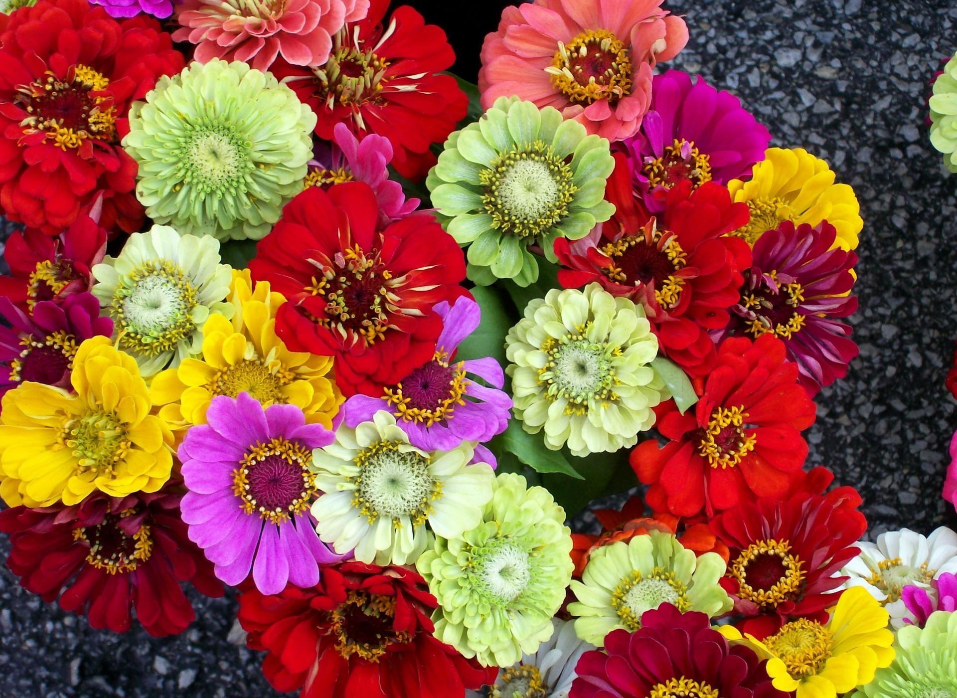 59951 скачать обои Цветы, Яркие, Разные, Циннии, Красочные - заставки и картинки бесплатно