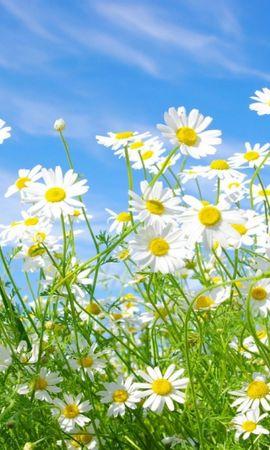 21339 скачать обои Растения, Трава, Небо, Ромашки - заставки и картинки бесплатно