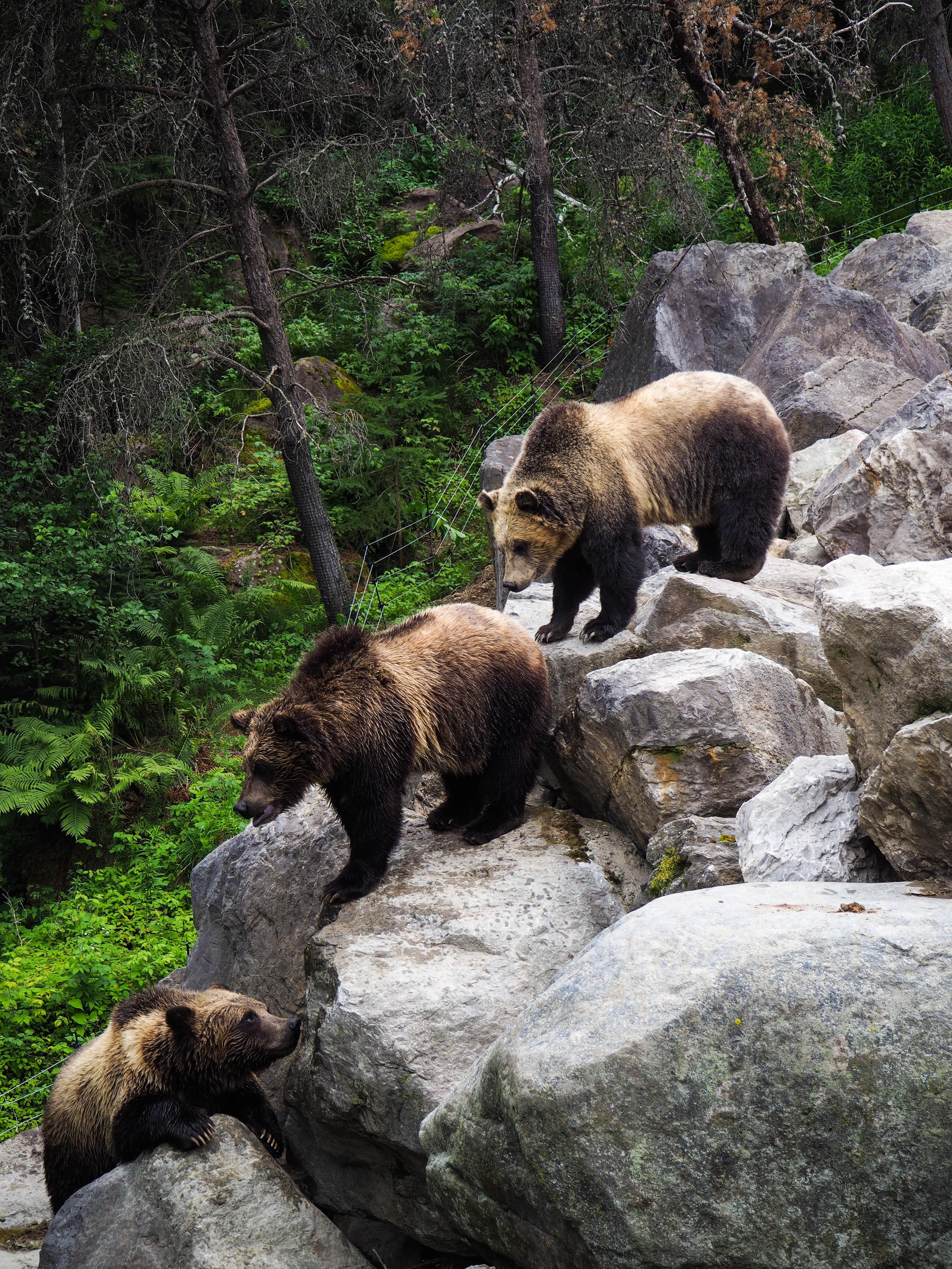 145278 Заставки и Обои Медведи на телефон. Скачать Медведи, Животные, Камни, Хищник, Бурый Медведь картинки бесплатно