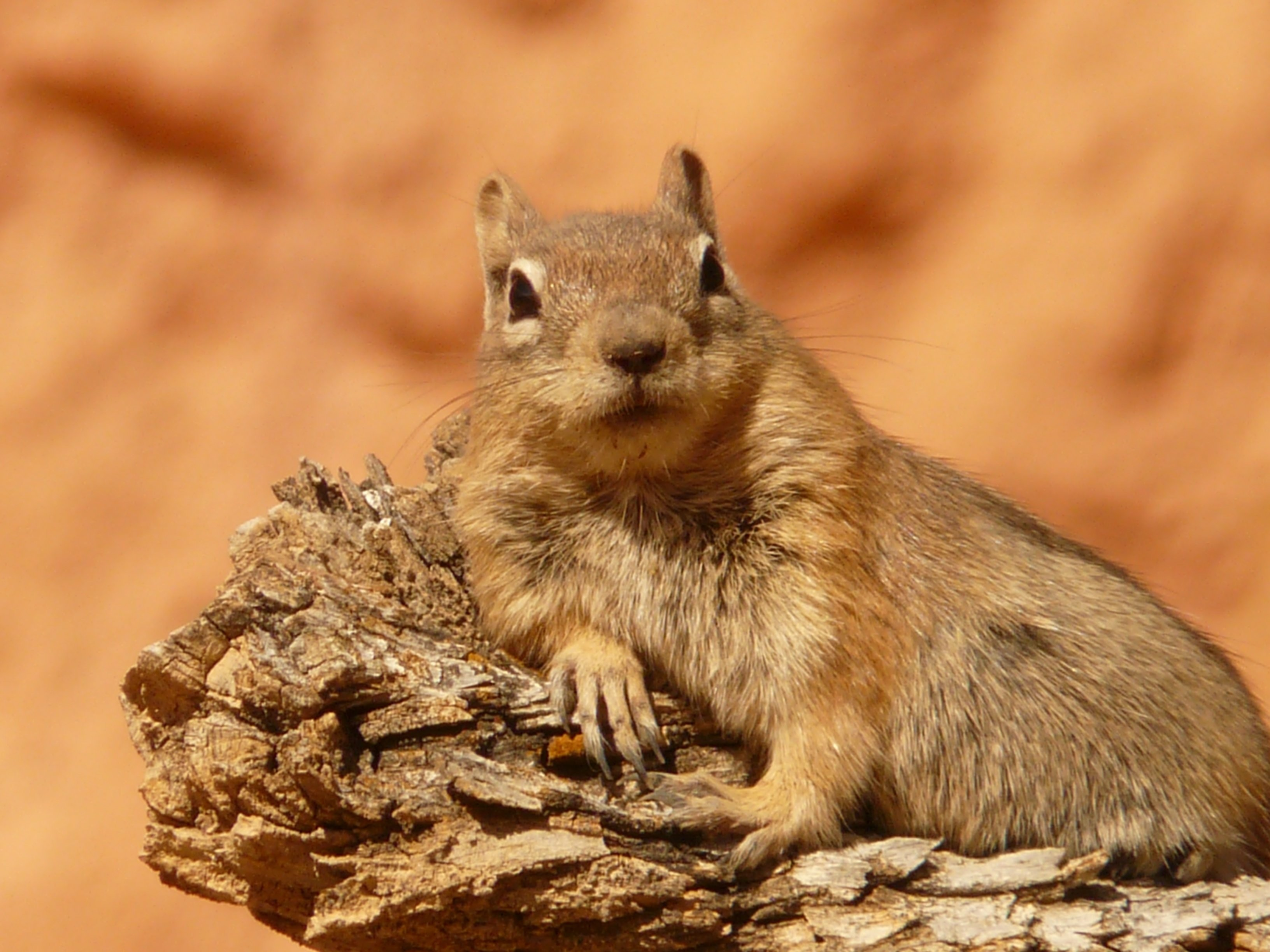 138376 download wallpaper Animals, Lies, Animal, Chipmunk screensavers and pictures for free