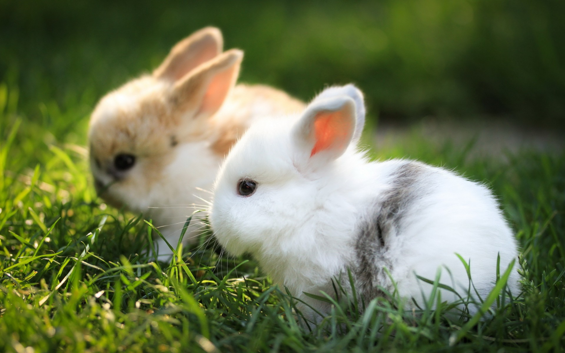 32460 download wallpaper Animals, Rabbits screensavers and pictures for free
