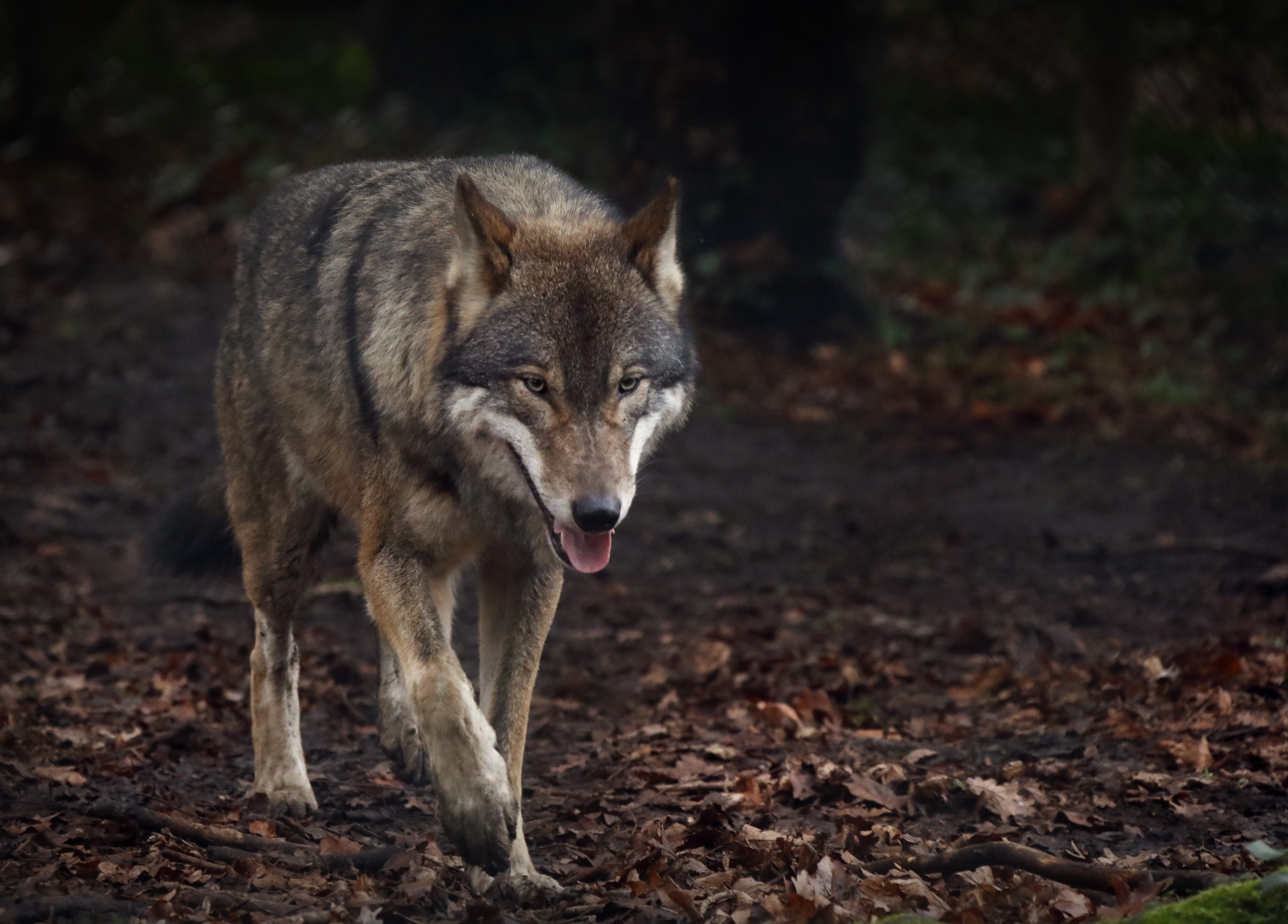 52044 download wallpaper Animals, Wolf, Protruding Tongue, Tongue Stuck Out, Predator screensavers and pictures for free