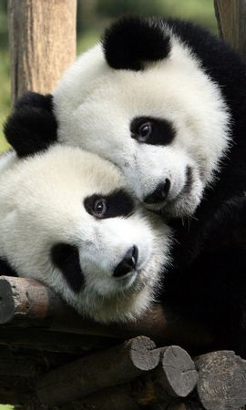 16640 download wallpaper Animals, Bears, Pandas screensavers and pictures for free