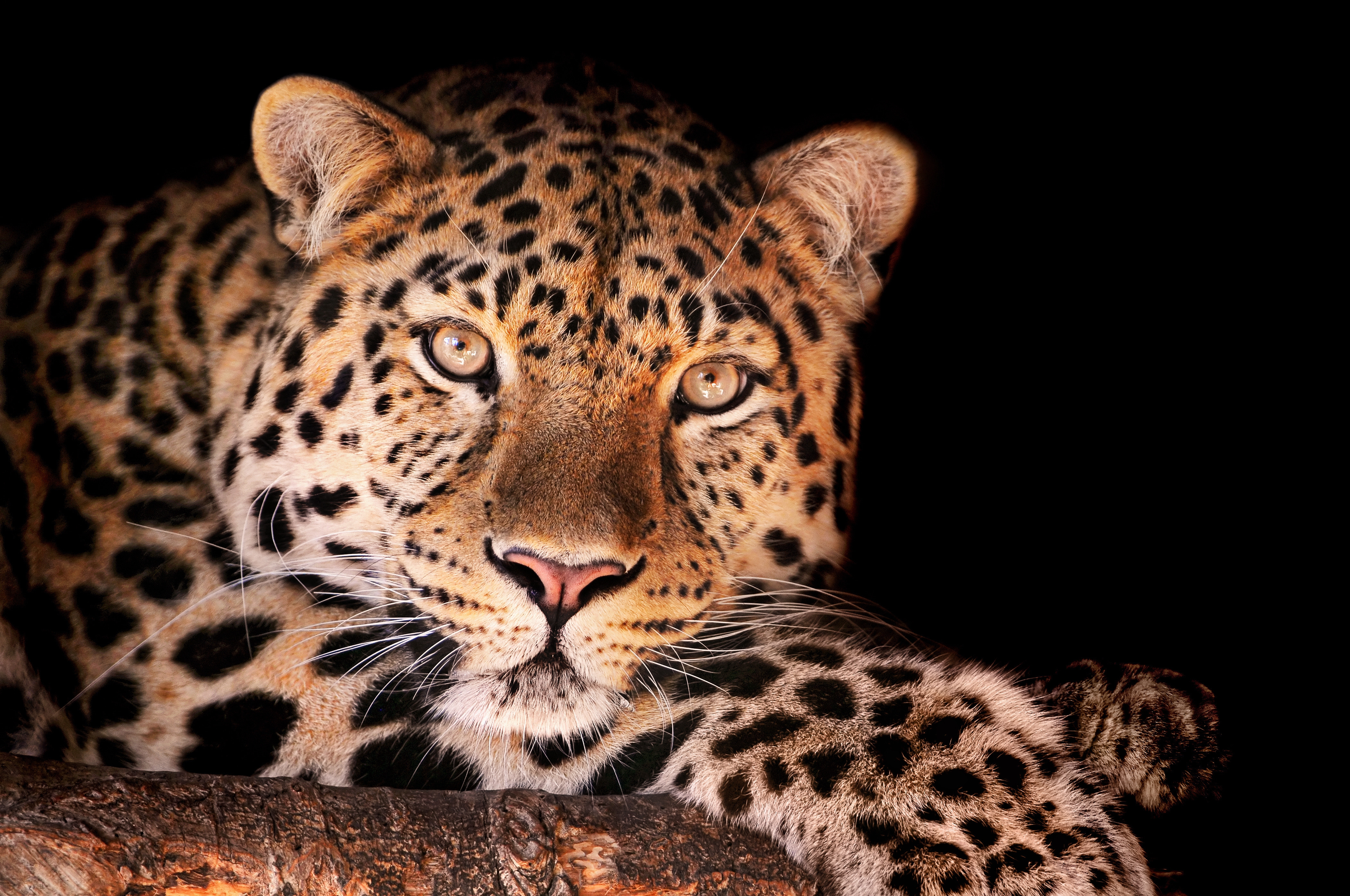 53276 download wallpaper Animals, Leopard, Muzzle, Dark, Spotted, Spotty screensavers and pictures for free