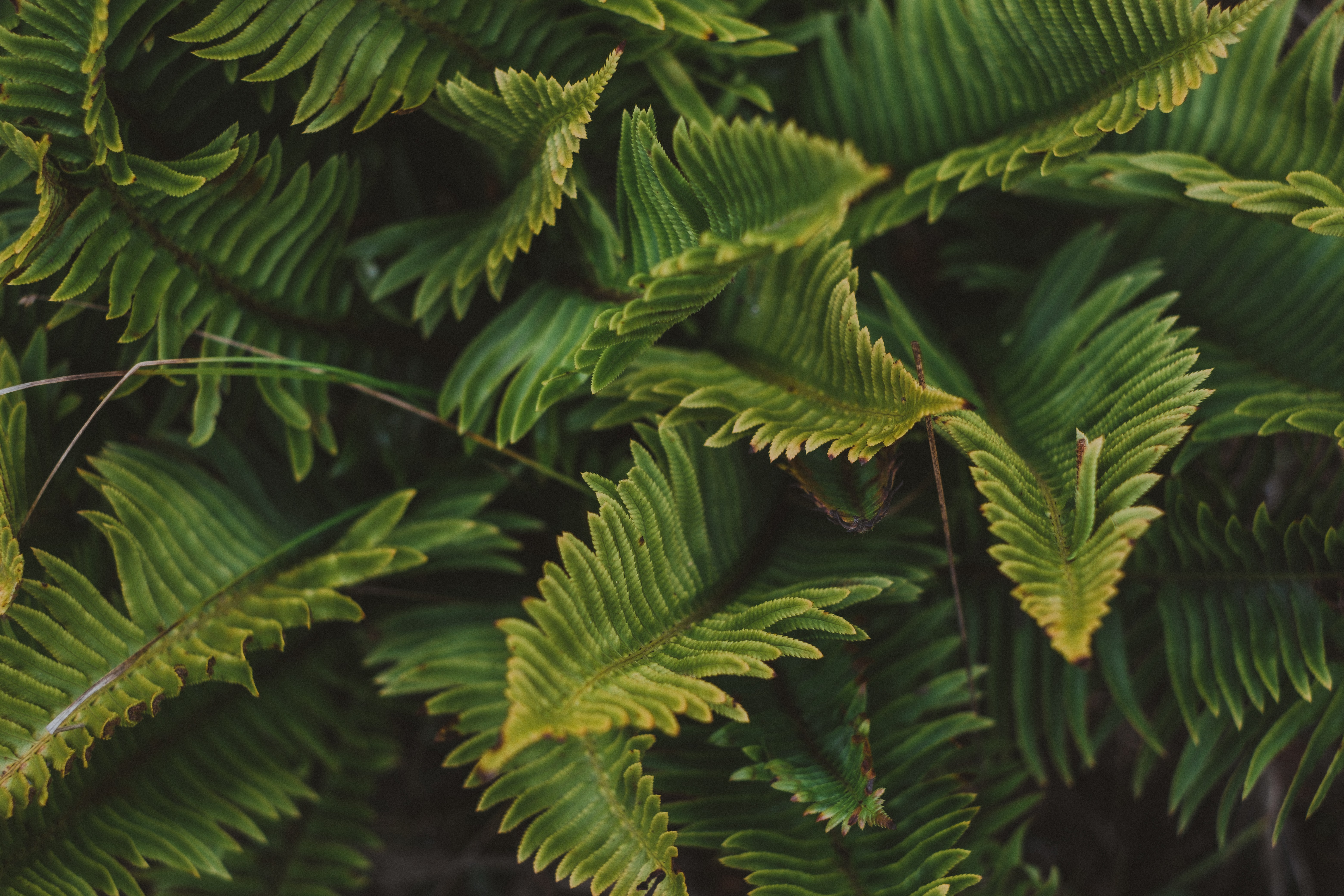 93989 download wallpaper Leaves, Plant, Macro, Fern screensavers and pictures for free