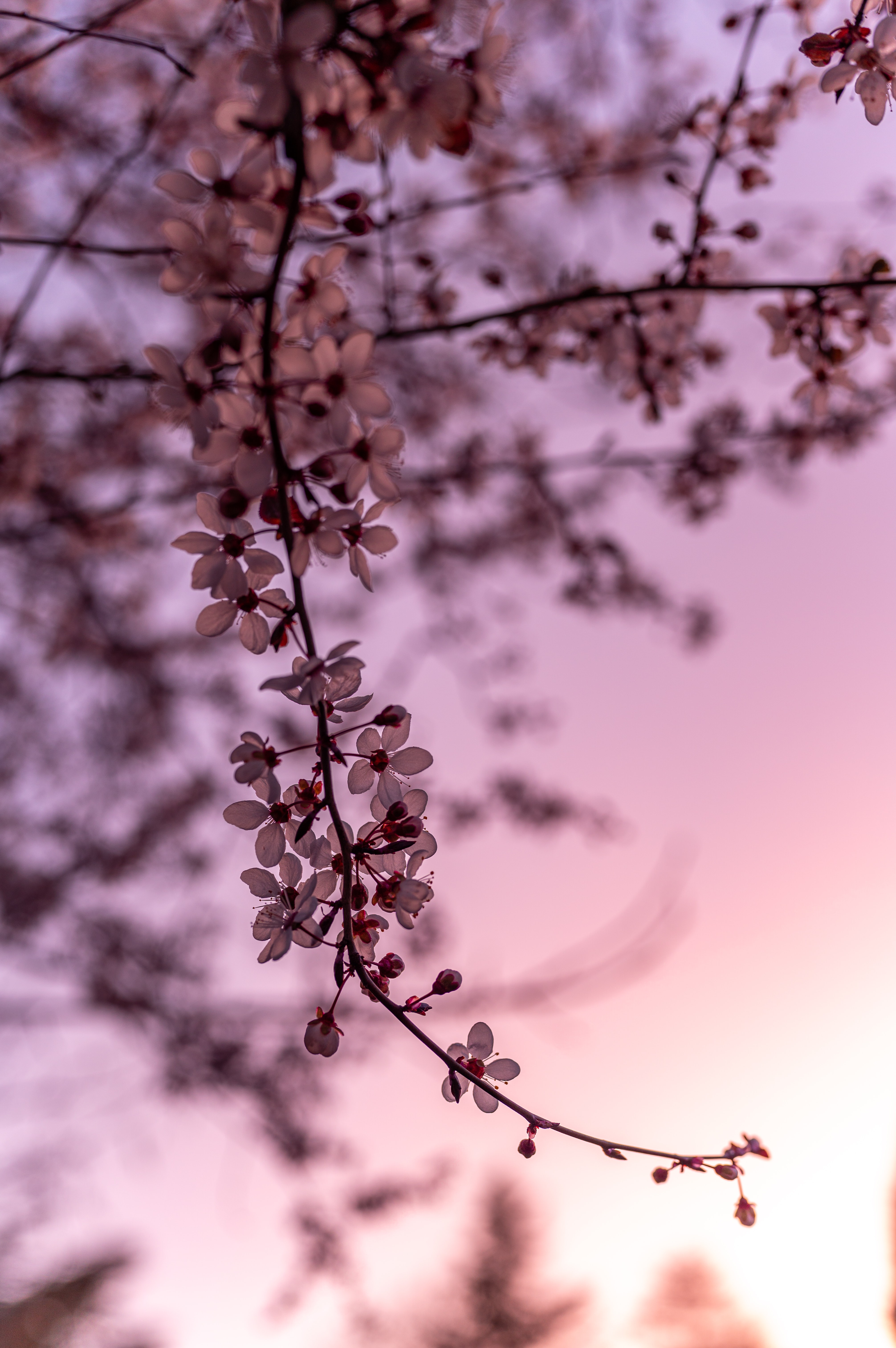 116721 Screensavers and Wallpapers Sakura for phone. Download Flowers, Cherry, Sakura, Branch, Spring pictures for free