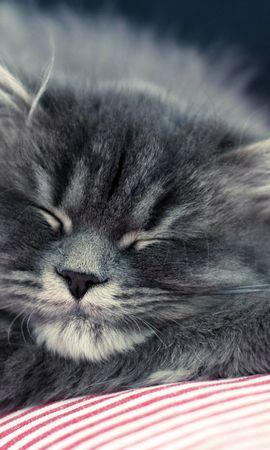 72677壁紙のダウンロード動物, ネコ, 猫, ふわふわ, ふかふかした, 銃口, 睡眠, 夢-スクリーンセーバーと写真を無料で