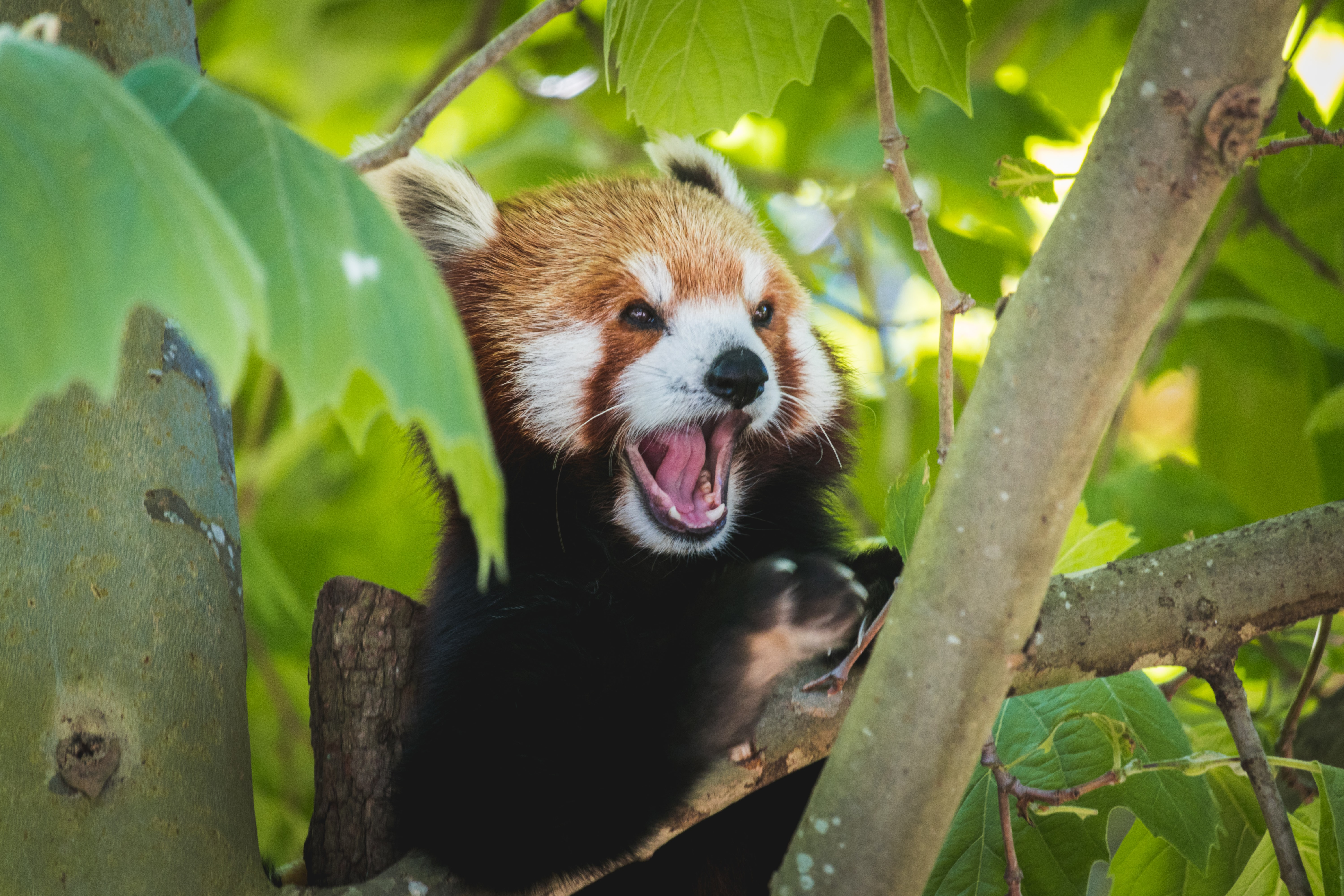 55965 download wallpaper Animals, Red Panda, Panda, Funny, Protruding Tongue, Tongue Stuck Out screensavers and pictures for free
