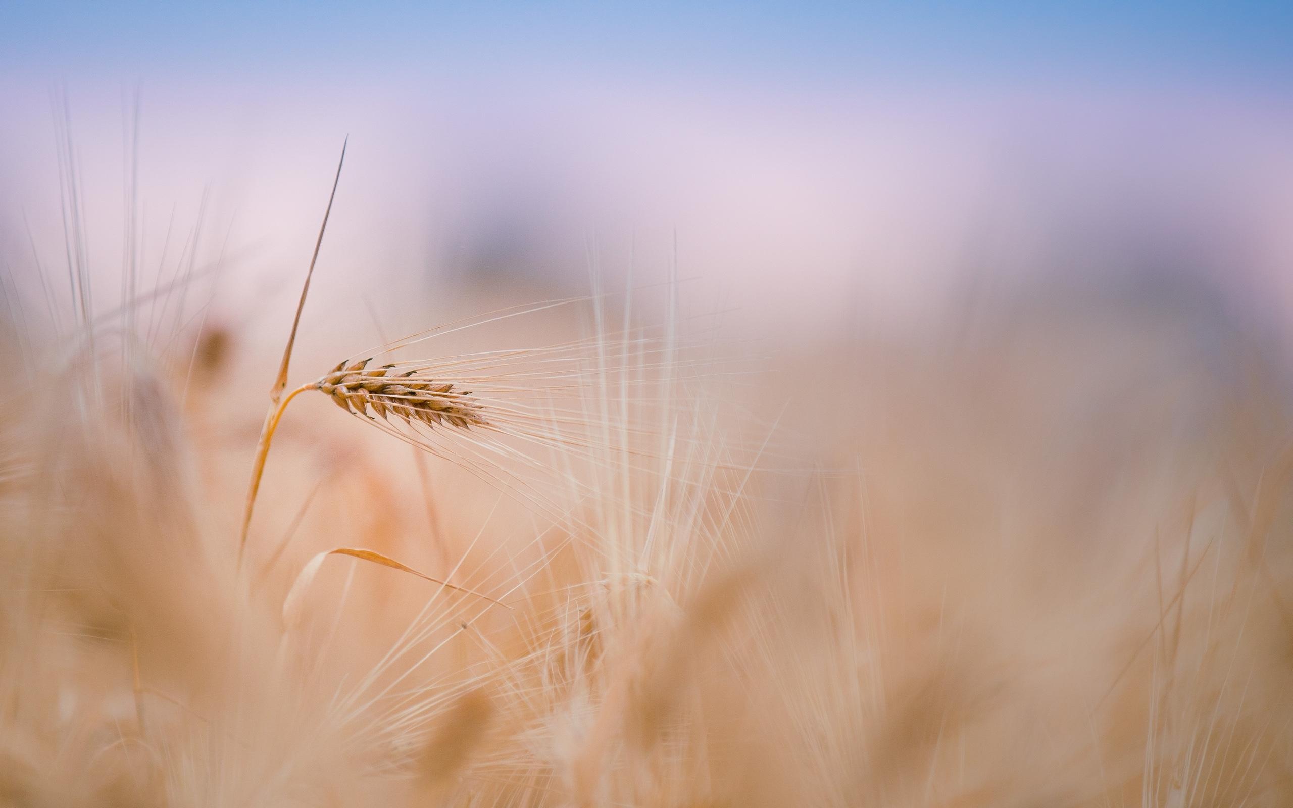Скачать картинку Пшеница, Фон, Растения в телефон бесплатно.