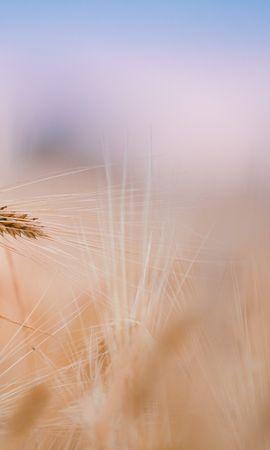 26265 скачать обои Растения, Фон, Пшеница - заставки и картинки бесплатно