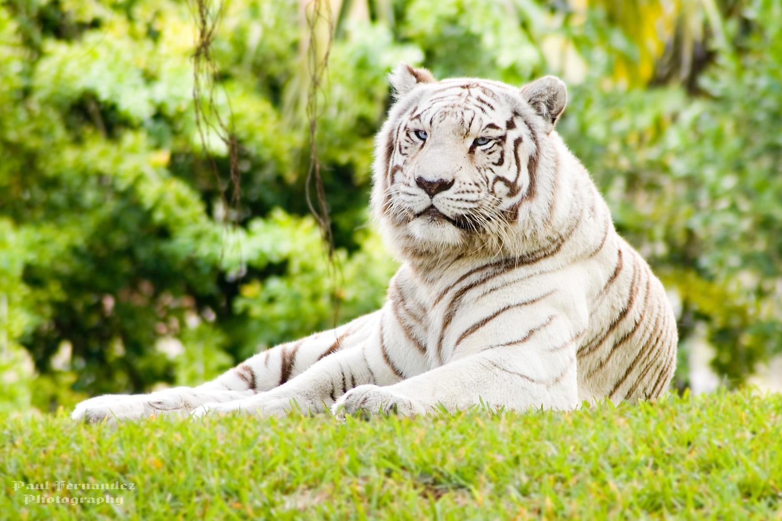 7424 descargar fondo de pantalla Animales, Naturaleza, Tigres: protectores de pantalla e imágenes gratis