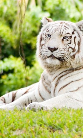 7424 download wallpaper Animals, Nature, Tigers screensavers and pictures for free