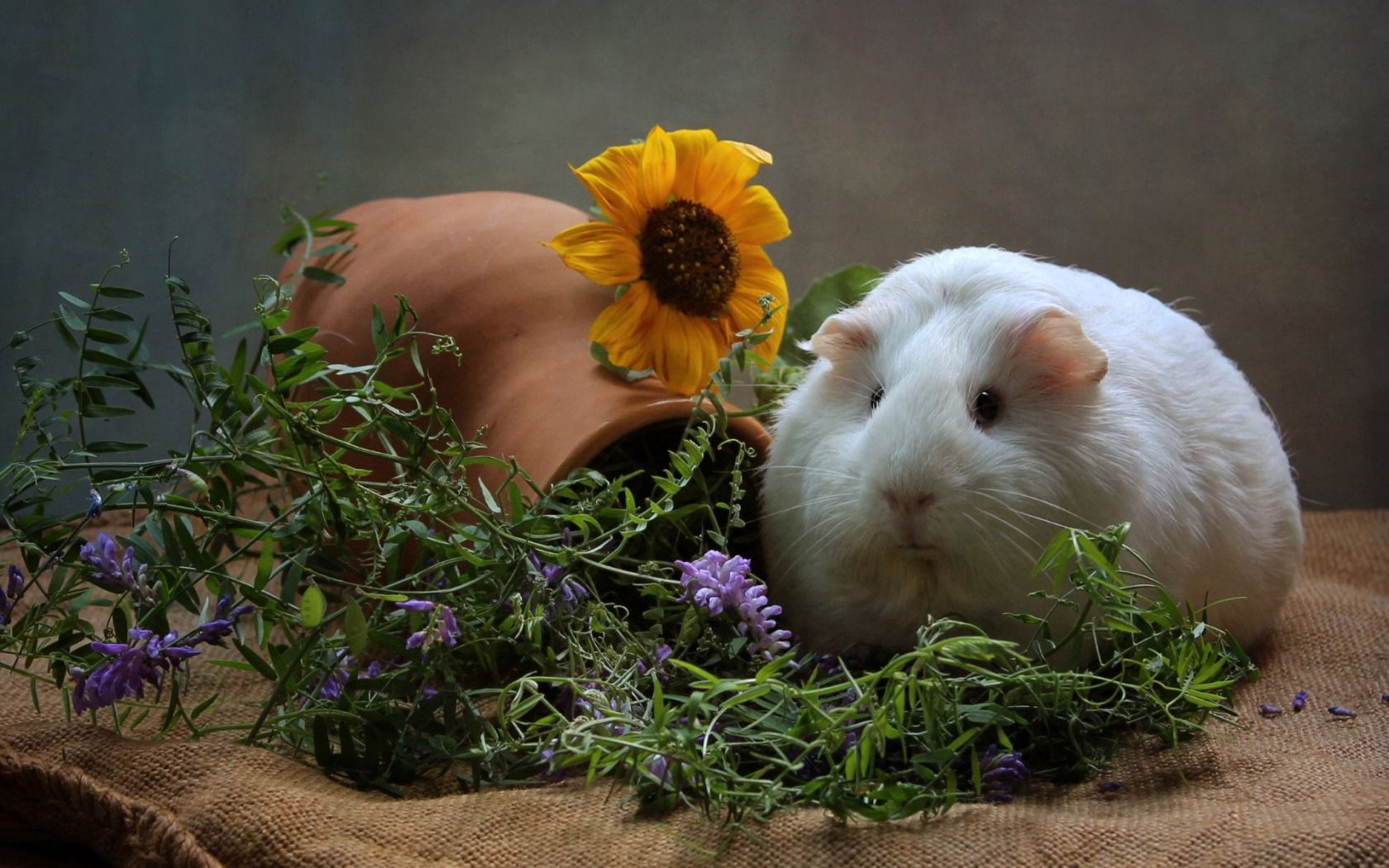 111809 download wallpaper Animals, Guinea Pig, Rodent, Thick, Fat, Cool, Flowers screensavers and pictures for free