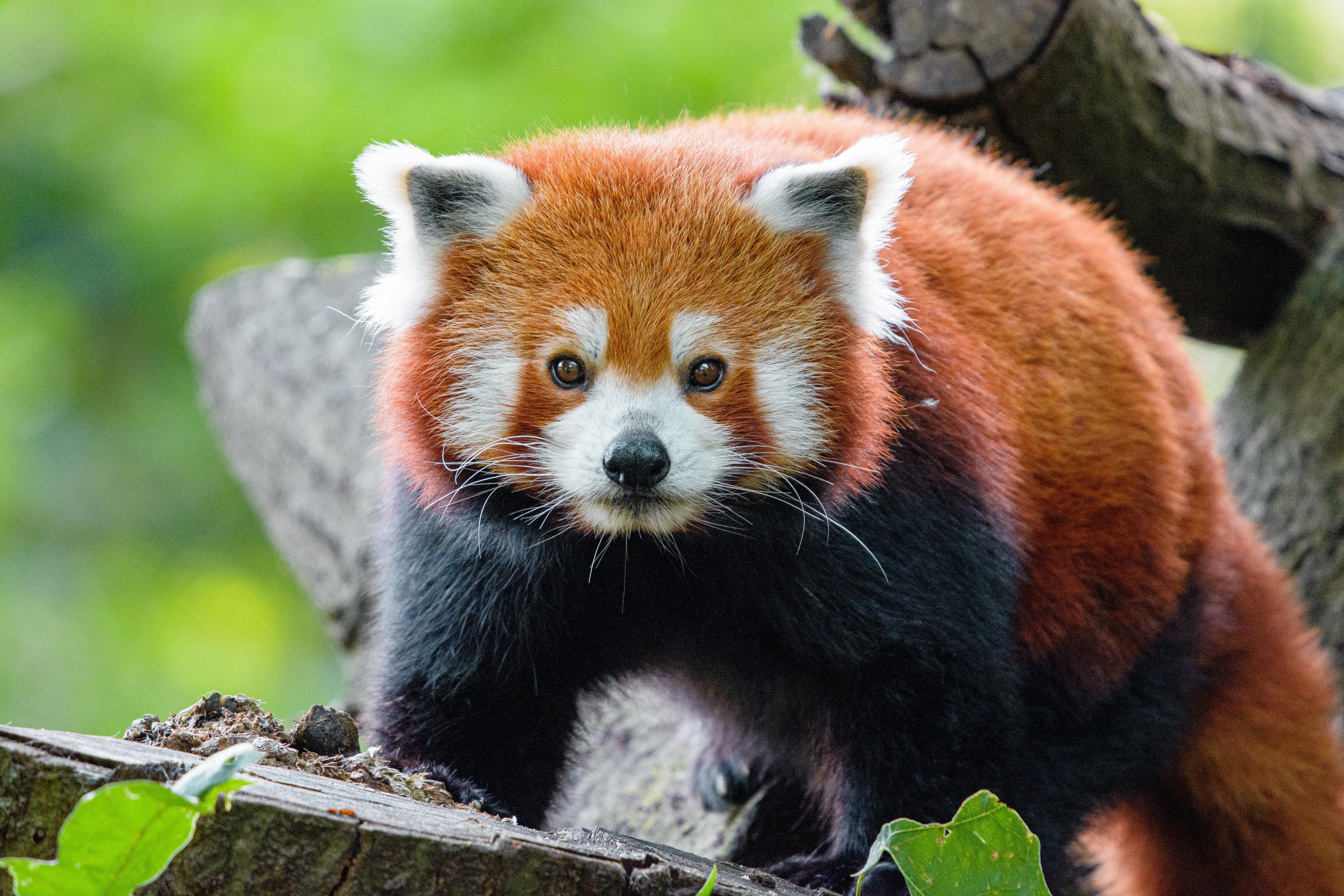 76361 download wallpaper Animals, Red Panda, Panda, Muzzle, Animal, Sight, Opinion screensavers and pictures for free
