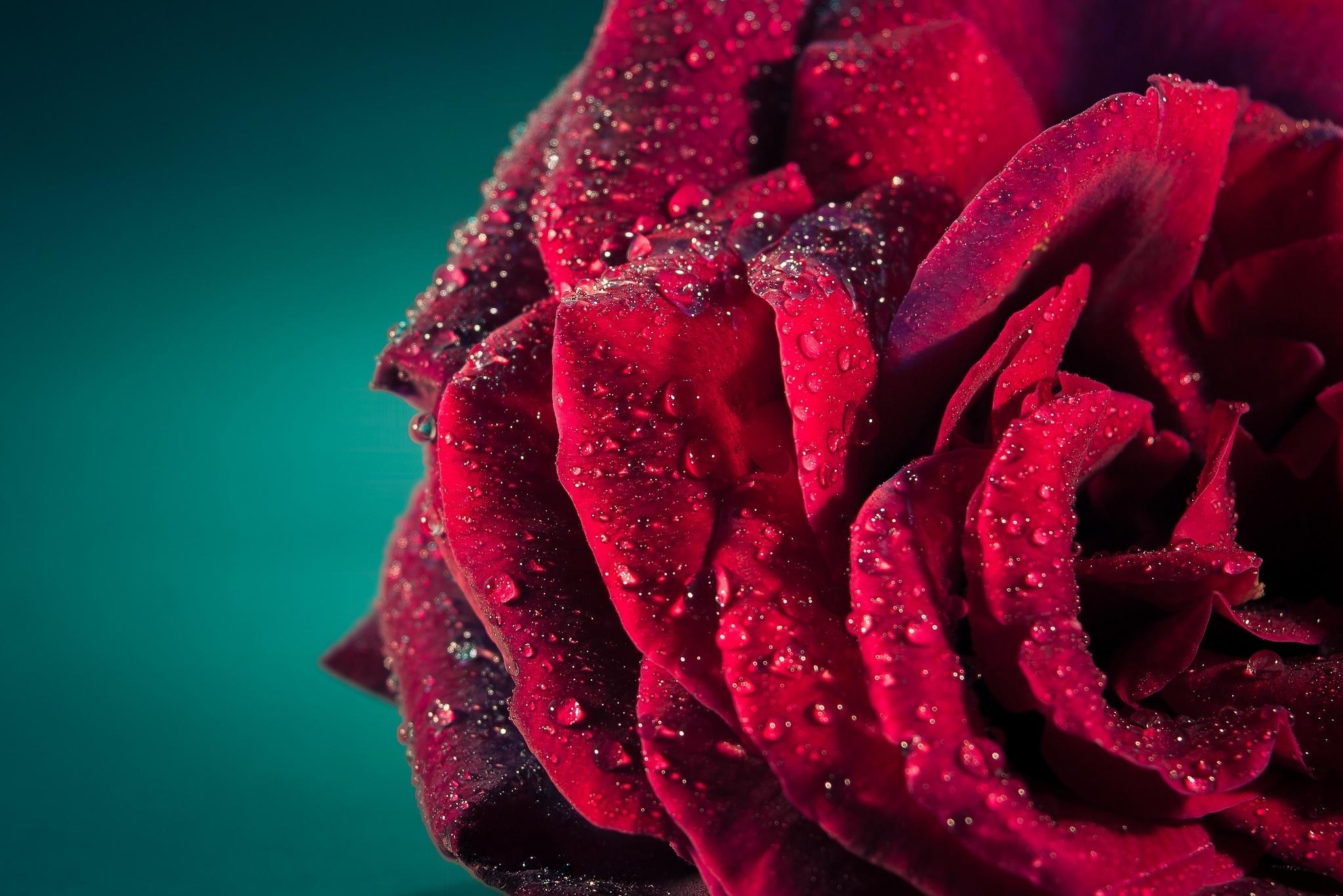 80935 download wallpaper Macro, Rose Flower, Rose, Petals, Drops screensavers and pictures for free