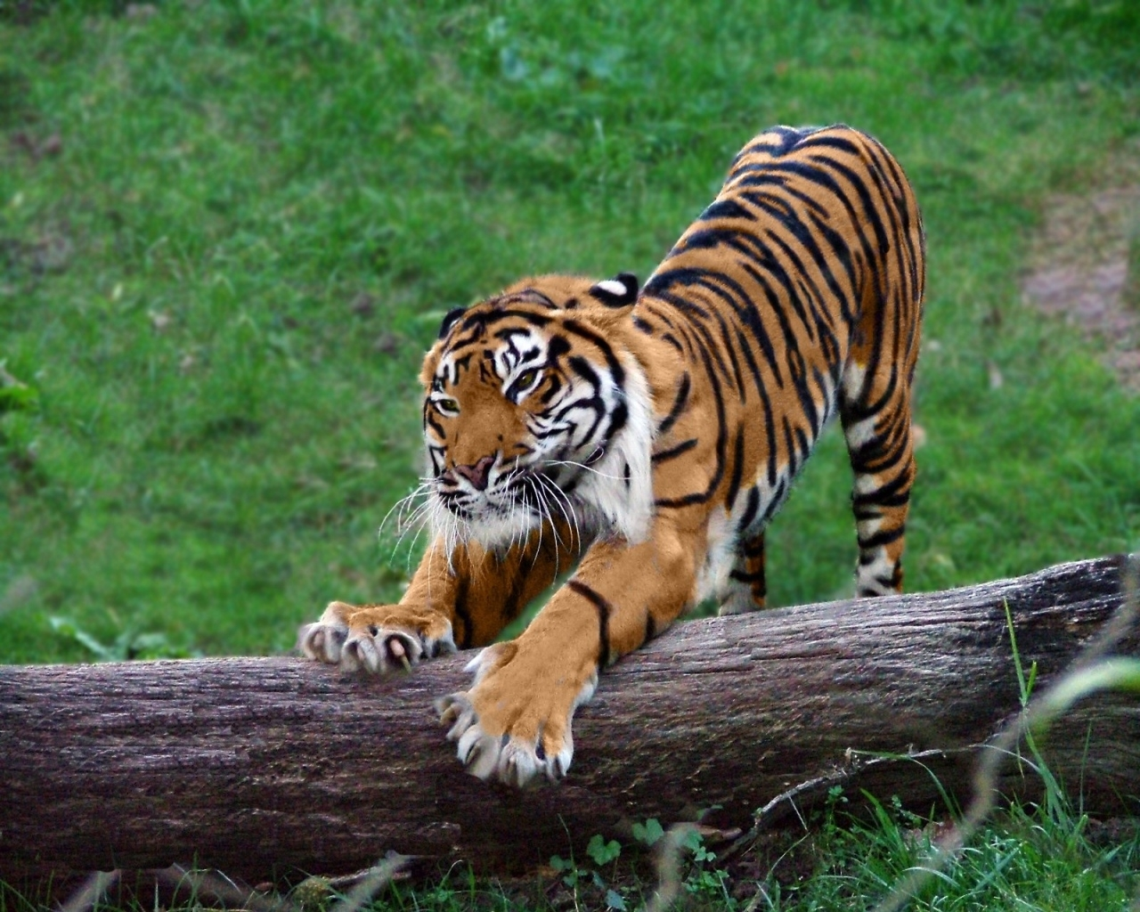 5795 download wallpaper Animals, Tigers screensavers and pictures for free