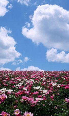 25156 скачать обои Транспорт, Пейзаж, Цветы, Поля, Небо - заставки и картинки бесплатно
