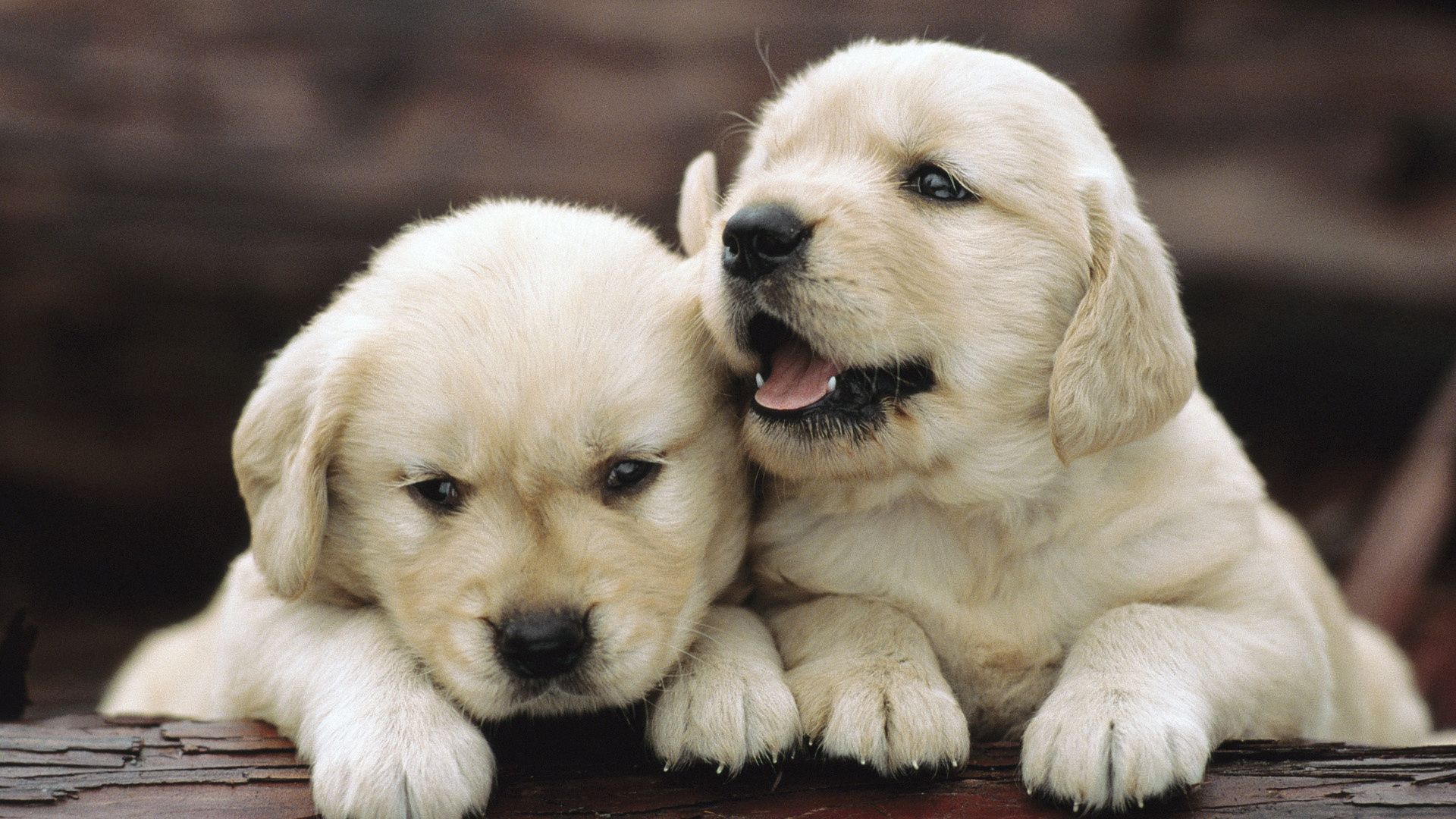 136039 download wallpaper Animals, Puppies, Couple, Pair, Playful, Toddlers, Kids screensavers and pictures for free