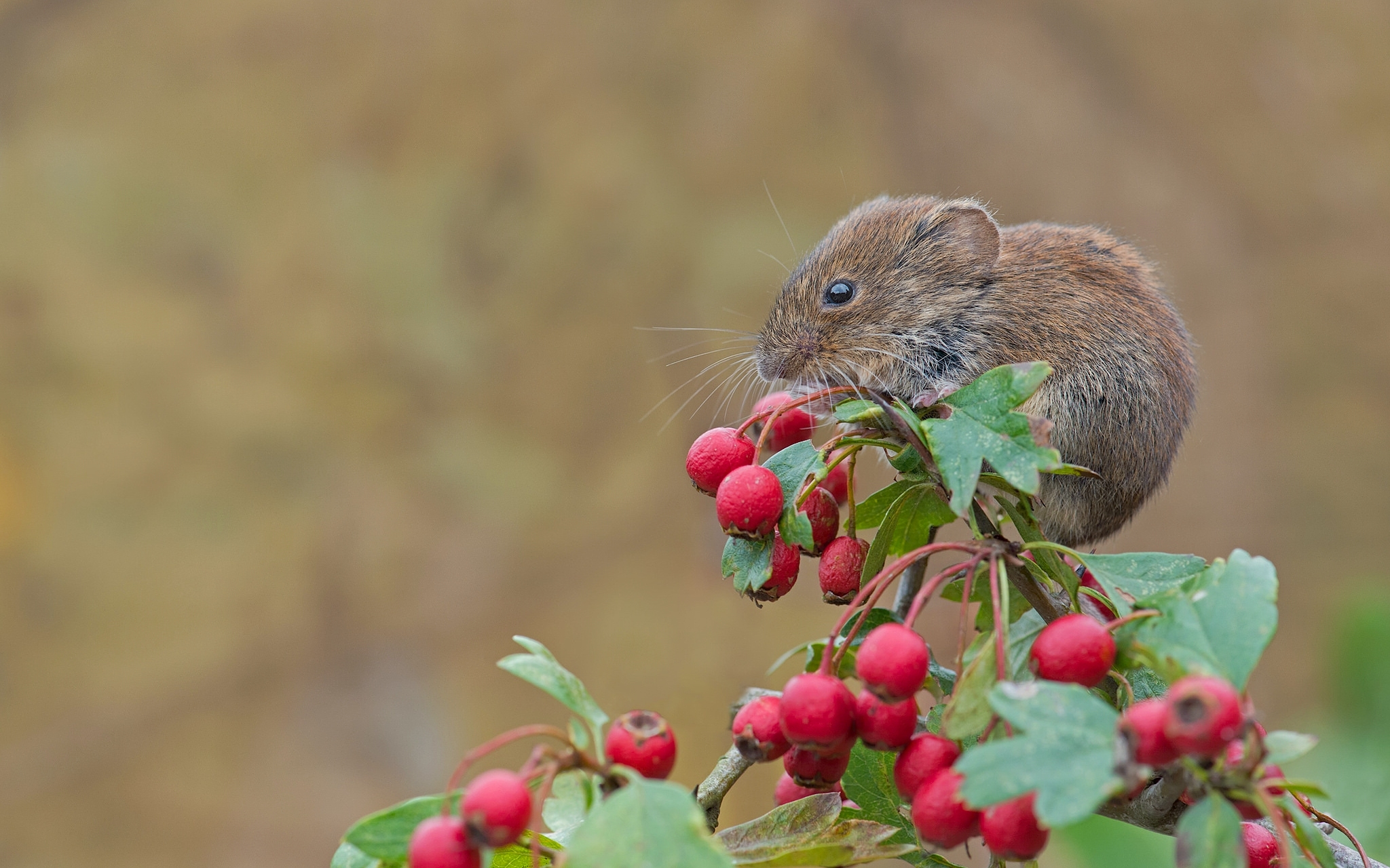 95544 download wallpaper Animals, Mouse, Rodent, Red Vole, Red-Flying, Hawthorn, Berries screensavers and pictures for free