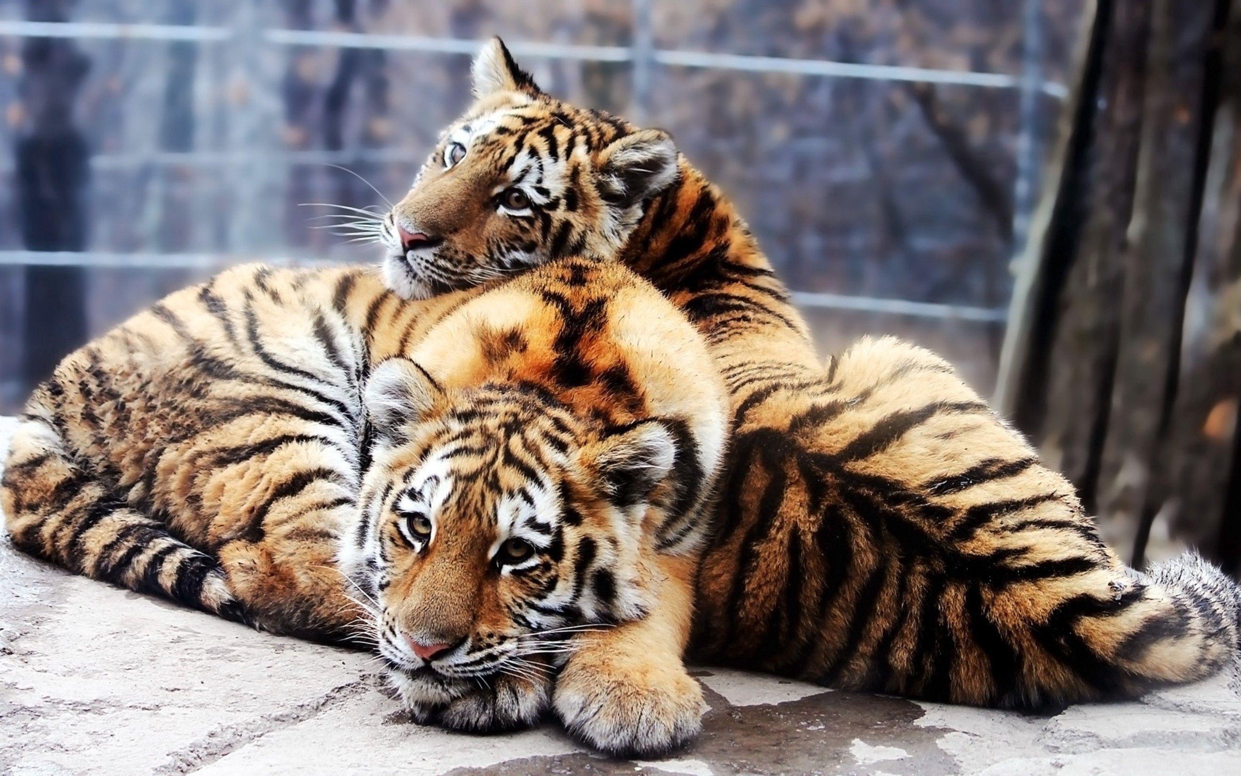79988壁紙のダウンロード動物, タイガーカブス, カップル, 双, 優しさ, 愛, 捕食者, 捕食 者, 阪神タイガース-スクリーンセーバーと写真を無料で