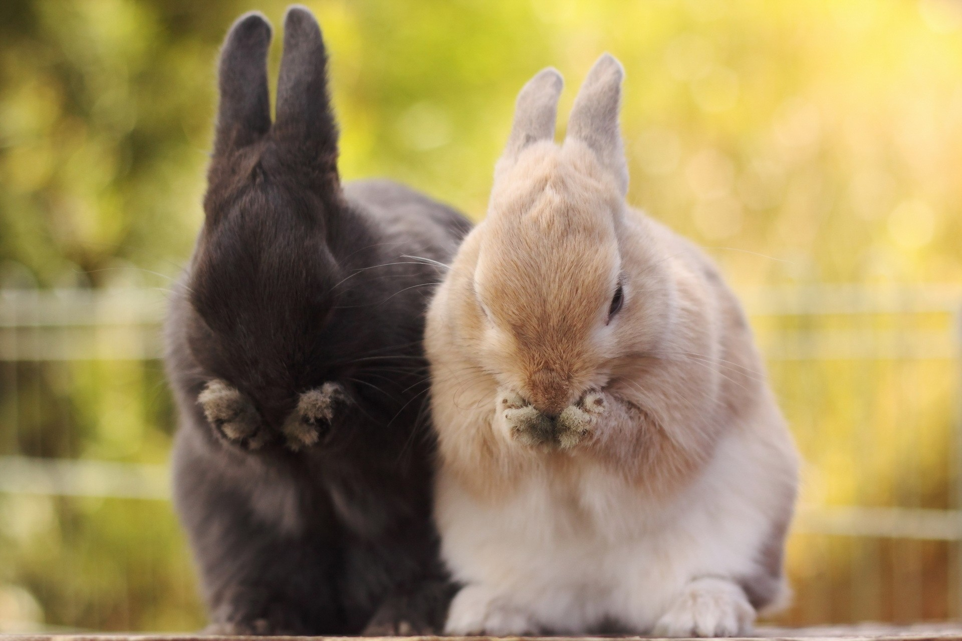 77959 download wallpaper Muzzle, Animals, Rabbits, Fluffy, Paws screensavers and pictures for free