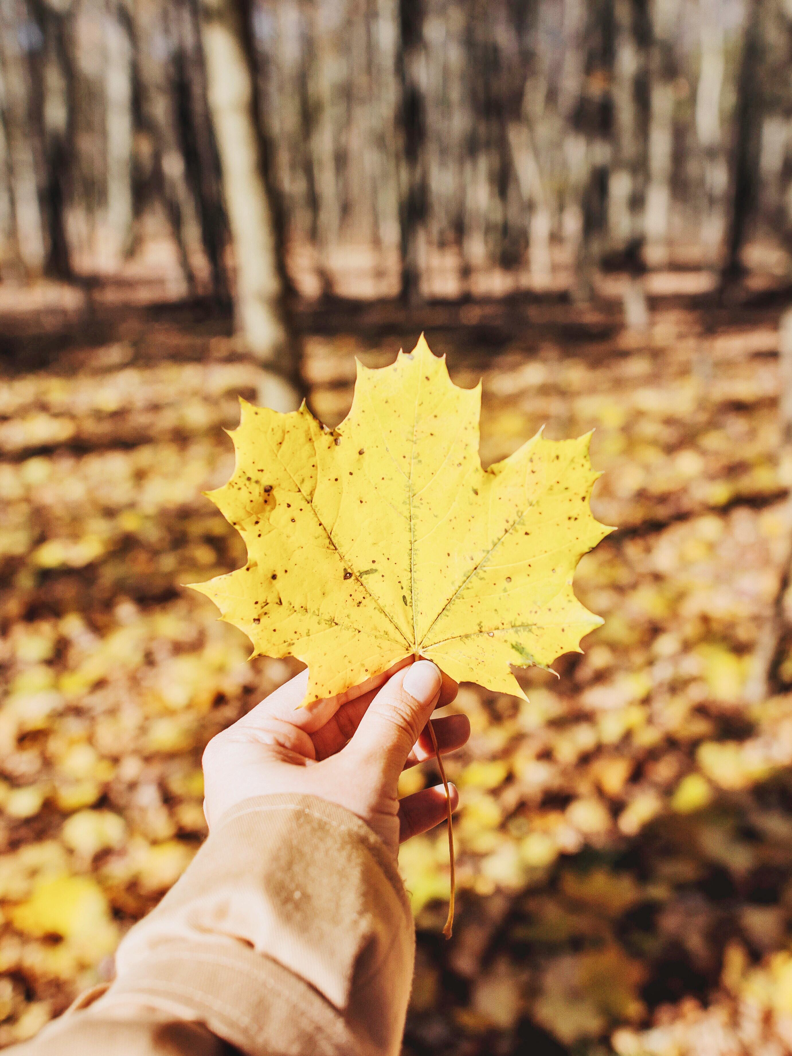 96259 скачать обои Природа, Лист, Клен, Рука, Осень, Опавший, Желтый - заставки и картинки бесплатно