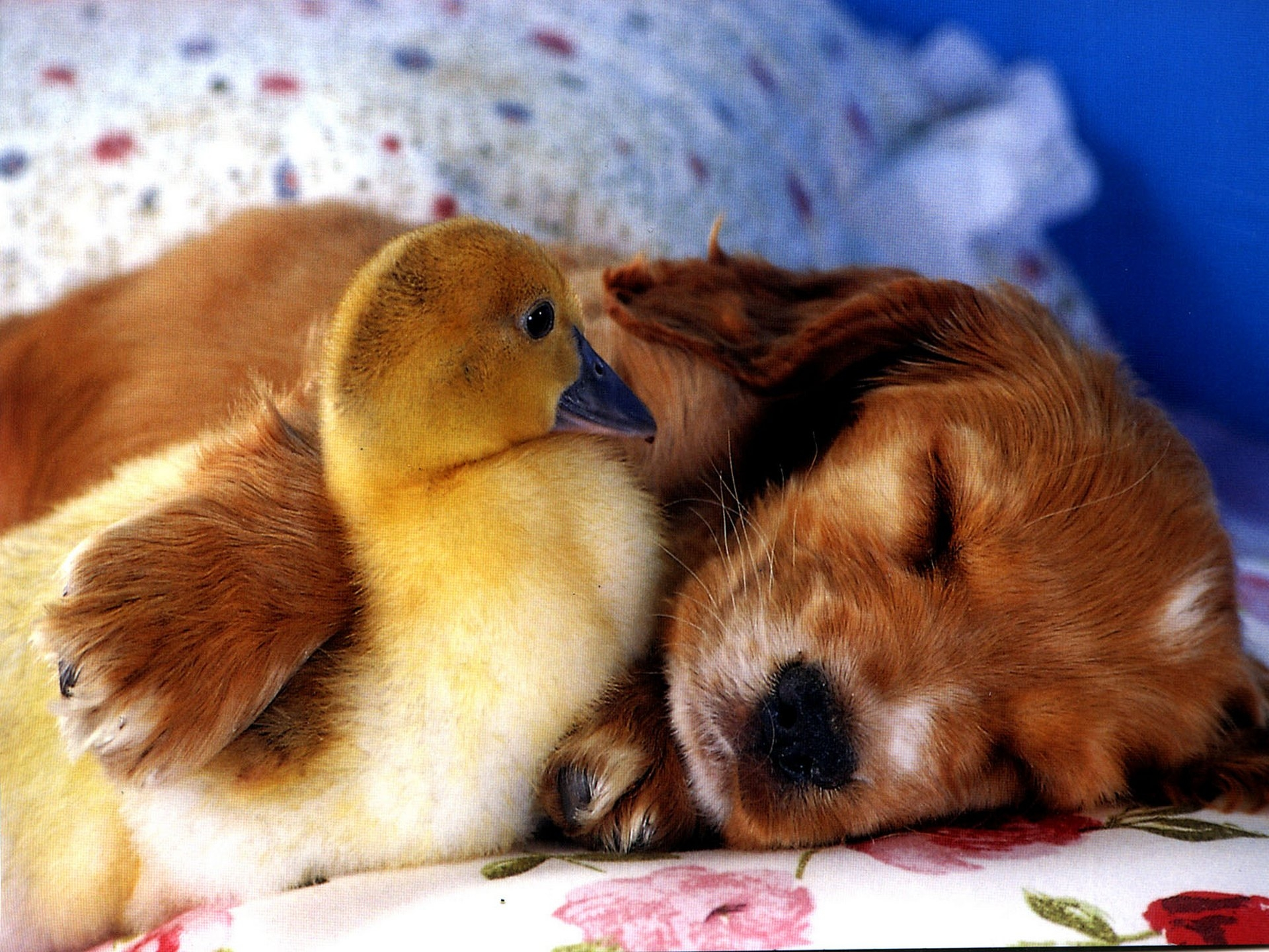 100310 Screensavers and Wallpapers Puppy for phone. Download Animals, Puppy, Friends, Duckling pictures for free