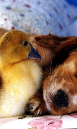 100310 download wallpaper Animals, Puppy, Duckling, Friends screensavers and pictures for free