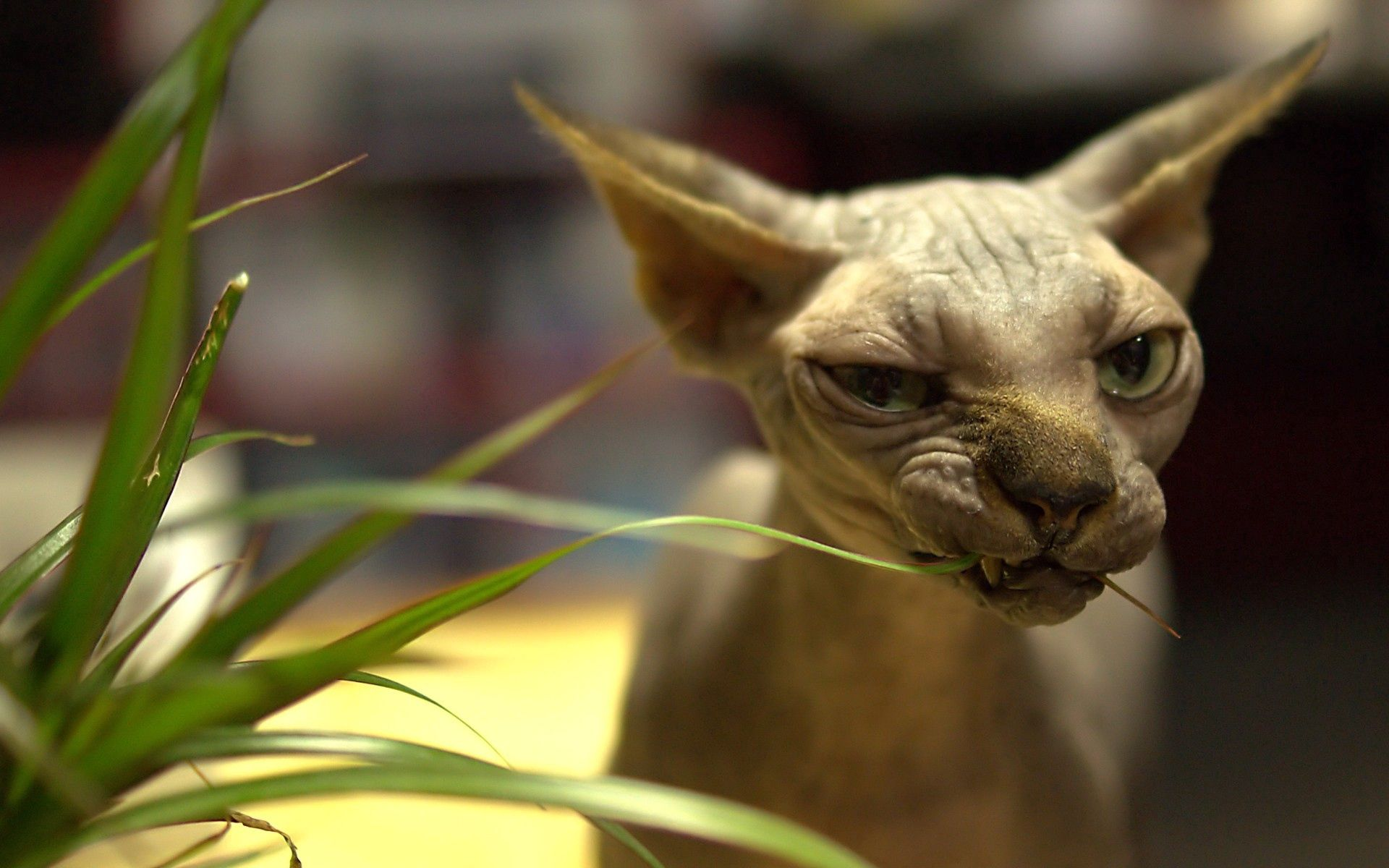 64771 download wallpaper Animals, Grass, Sphinx, Cat, Muzzle, Wrinkles screensavers and pictures for free