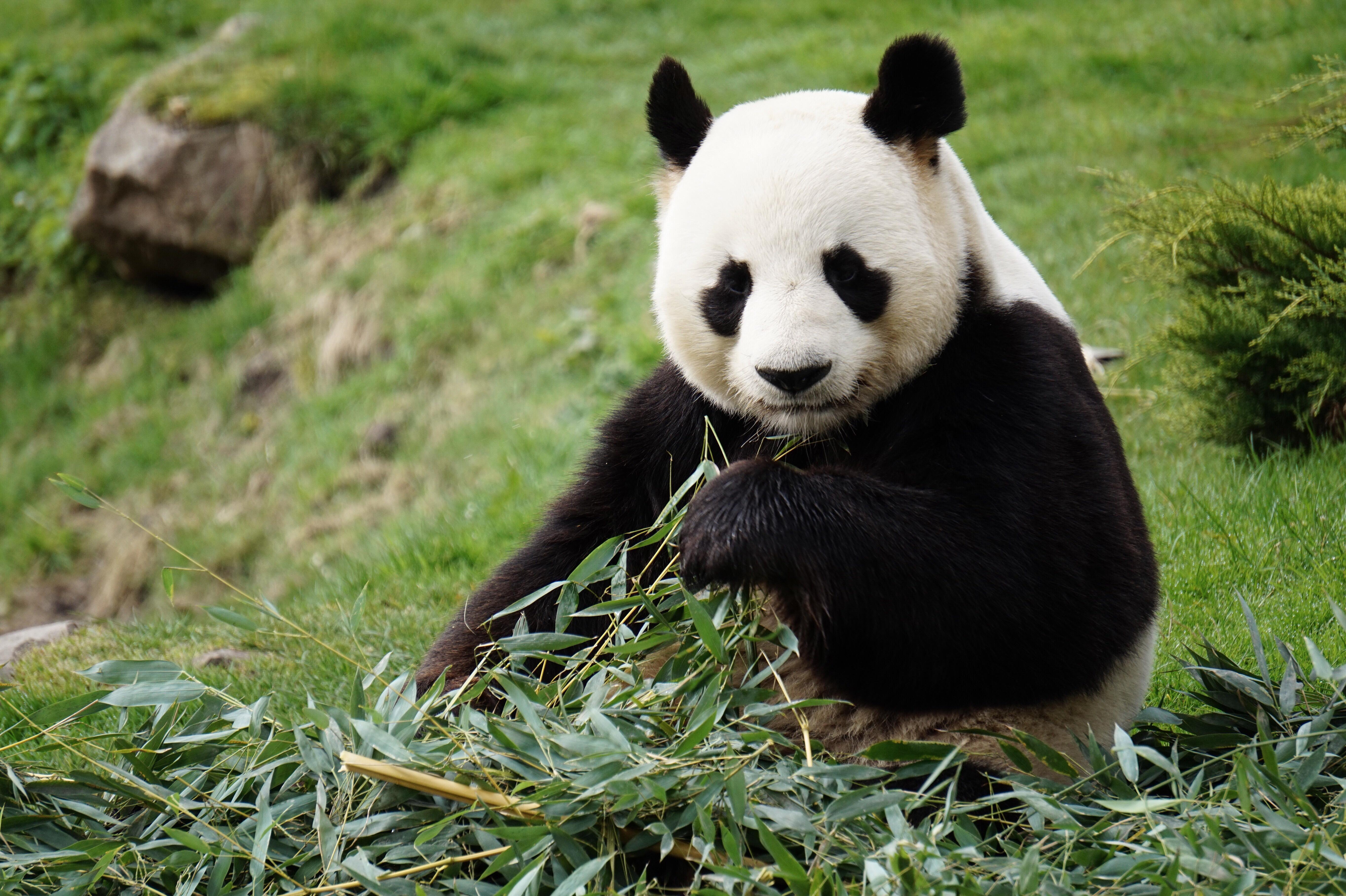Download mobile wallpaper Bamboo, Panda, Animals, Animal, Funny for free.