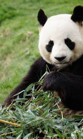 61752 download wallpaper Animals, Panda, Funny, Animal, Bamboo screensavers and pictures for free