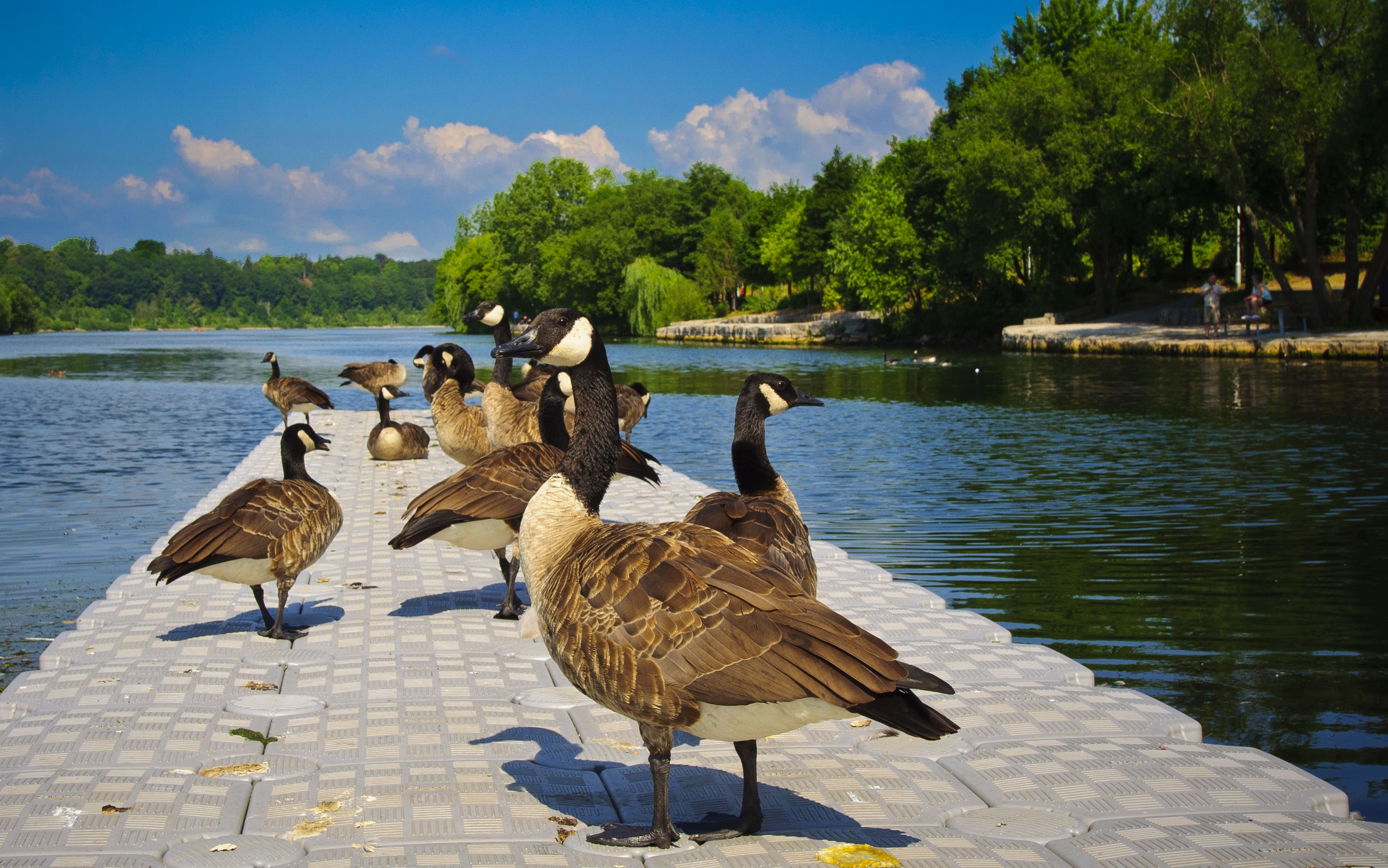 131031 download wallpaper Animals, Ducks, Lake, Pond, Land, Sit, Tile, People, Park, Trees screensavers and pictures for free