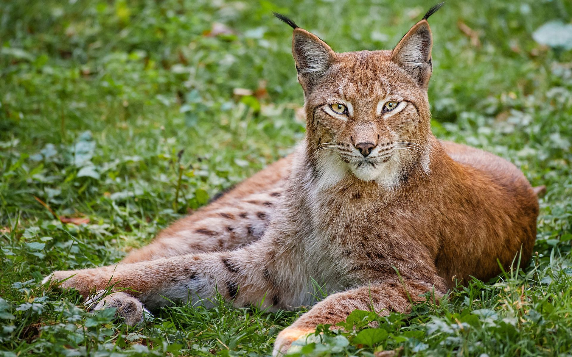 151854 download wallpaper Animals, Iris, Grass, Big Cat, Predator, To Lie Down, Lie screensavers and pictures for free