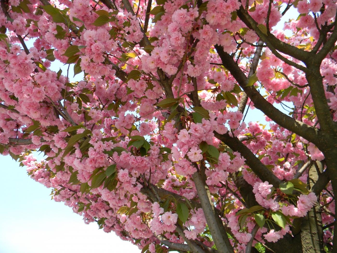25987 скачать обои Растения, Цветы, Деревья, Сакура - заставки и картинки бесплатно