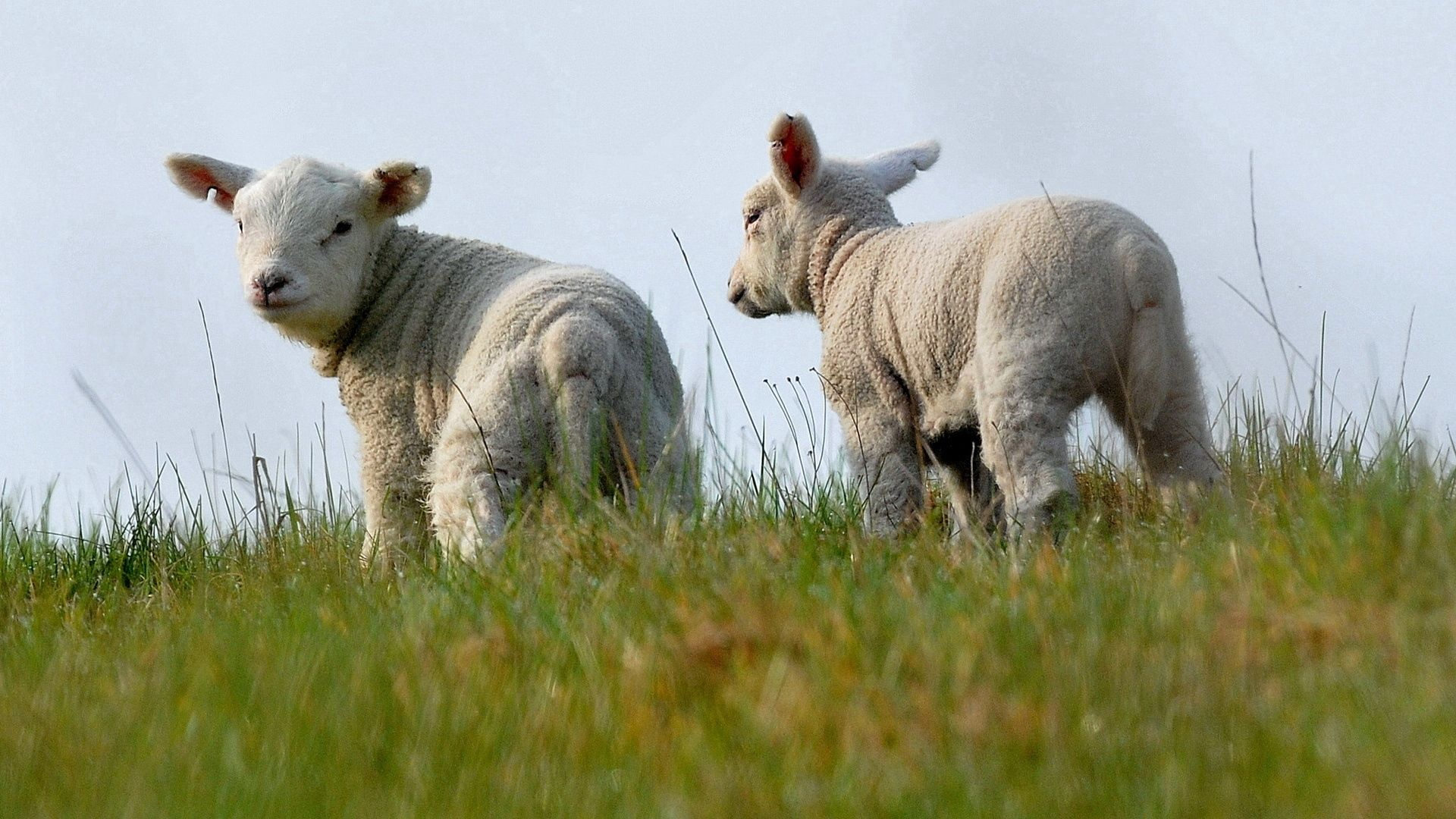 147081 Screensavers and Wallpapers Sheep for phone. Download Animals, Grass, Sheep, Together pictures for free