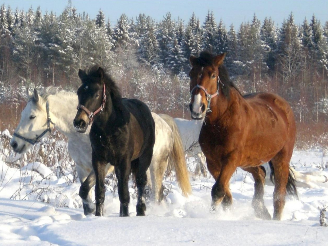 5870 download wallpaper Animals, Horses screensavers and pictures for free