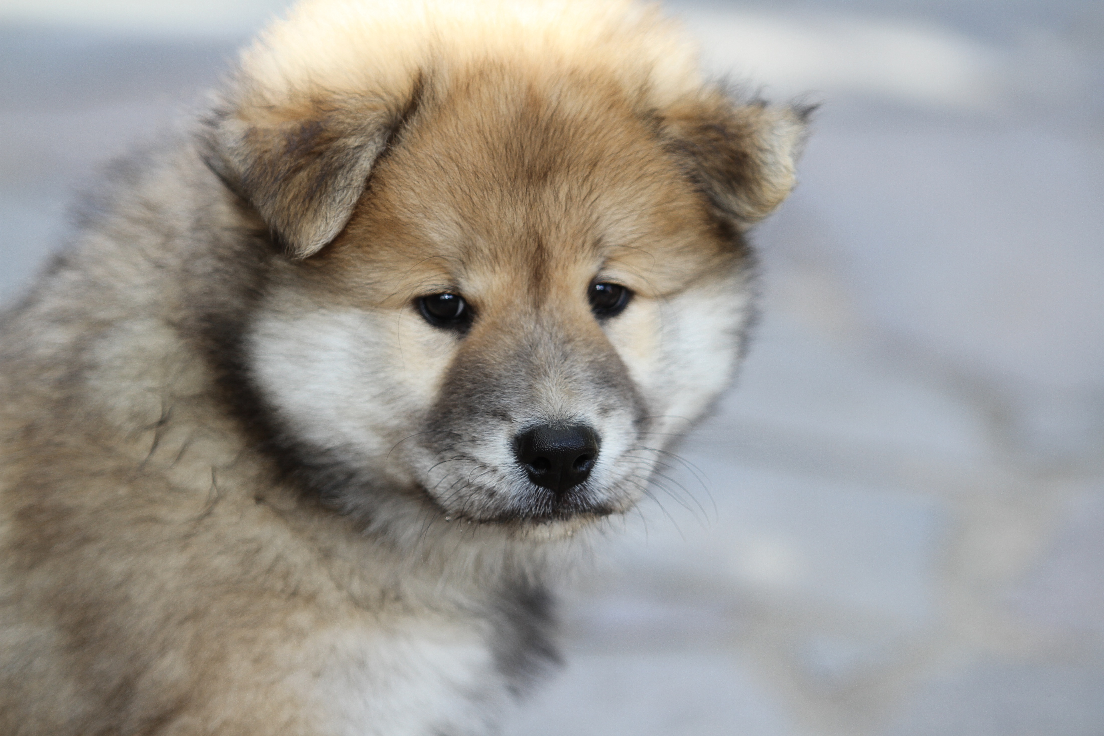 129877 download wallpaper Animals, Oirazir, Oyrazir, Eurasier, Eurasian, Puppy, Dog screensavers and pictures for free